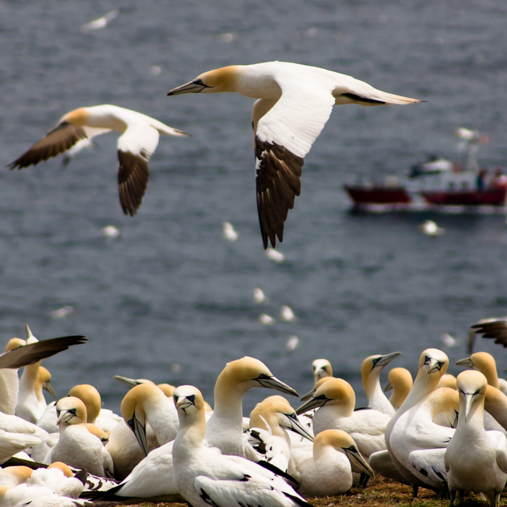 Northern gannets in flight h74wow