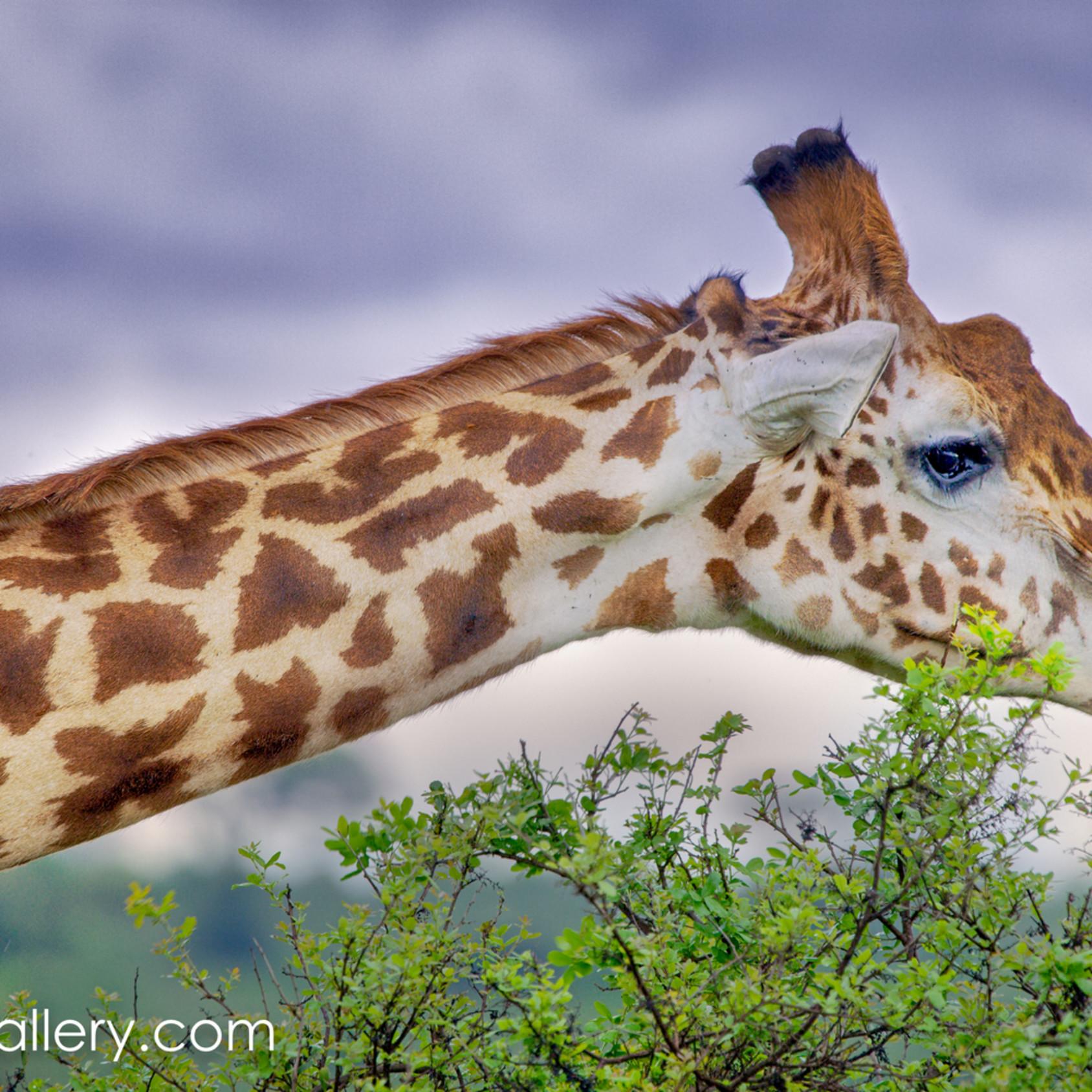 Giraffe panorama ynnlh4