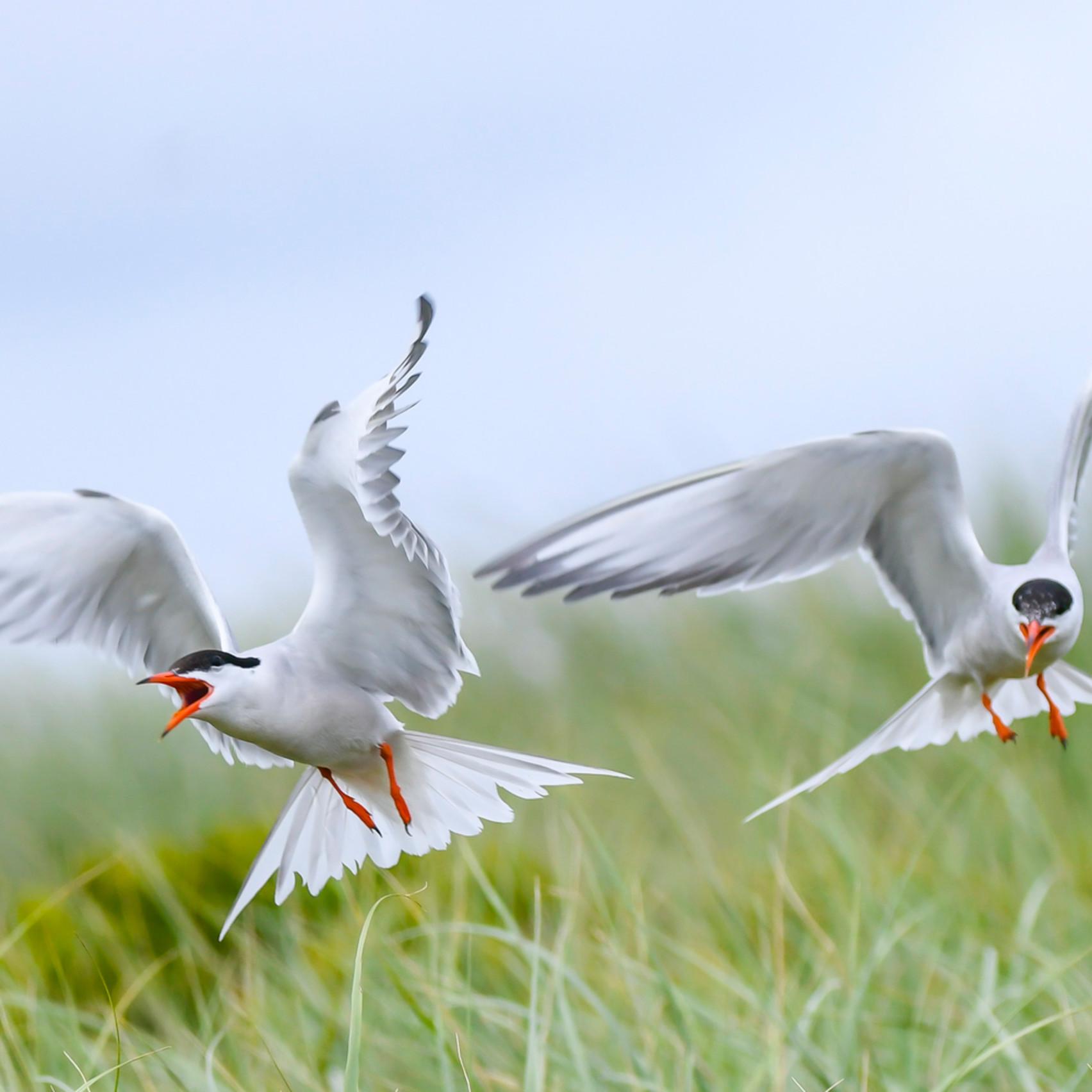 Common terns in flight 2 eaqoz8