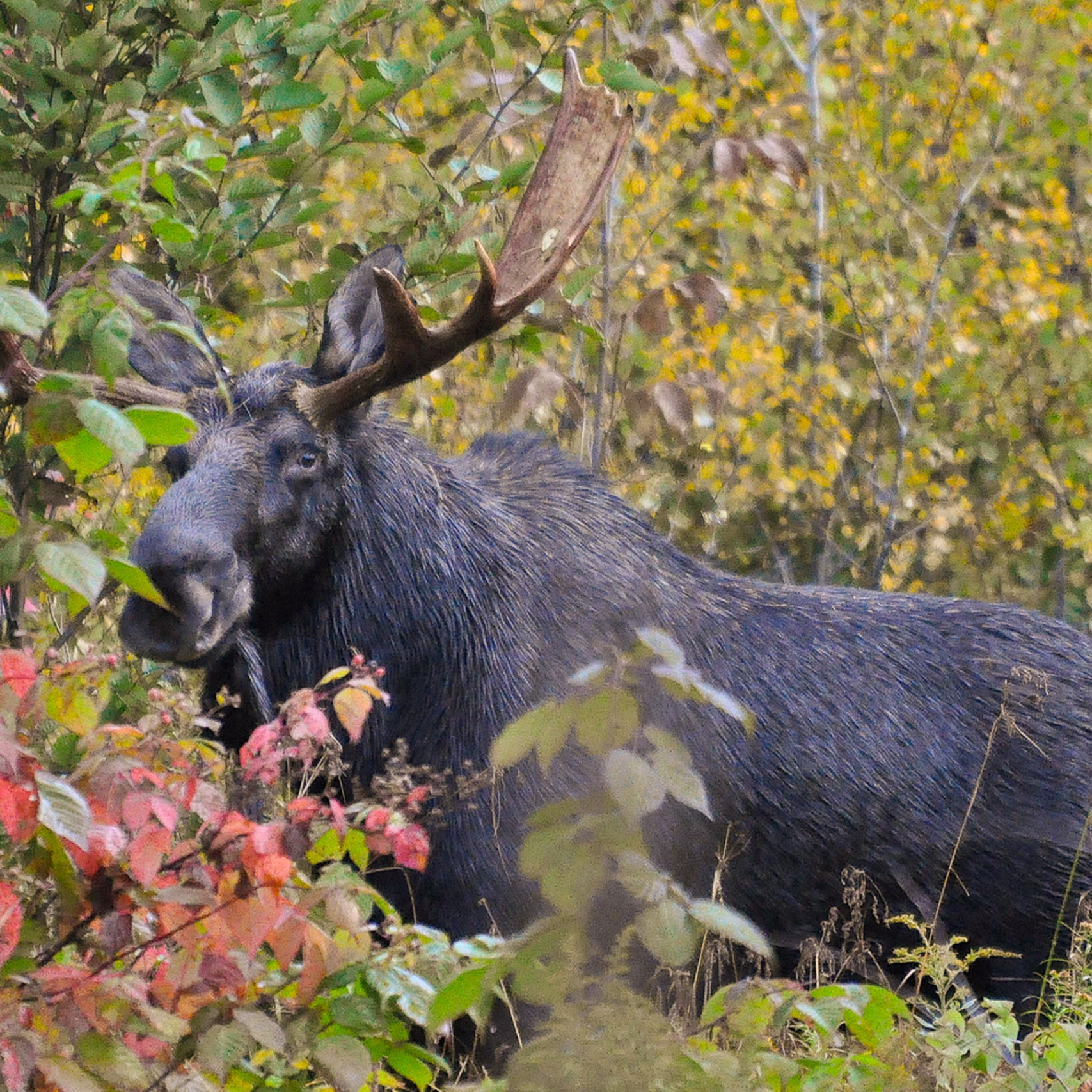 My first moose 2 wxz4qp