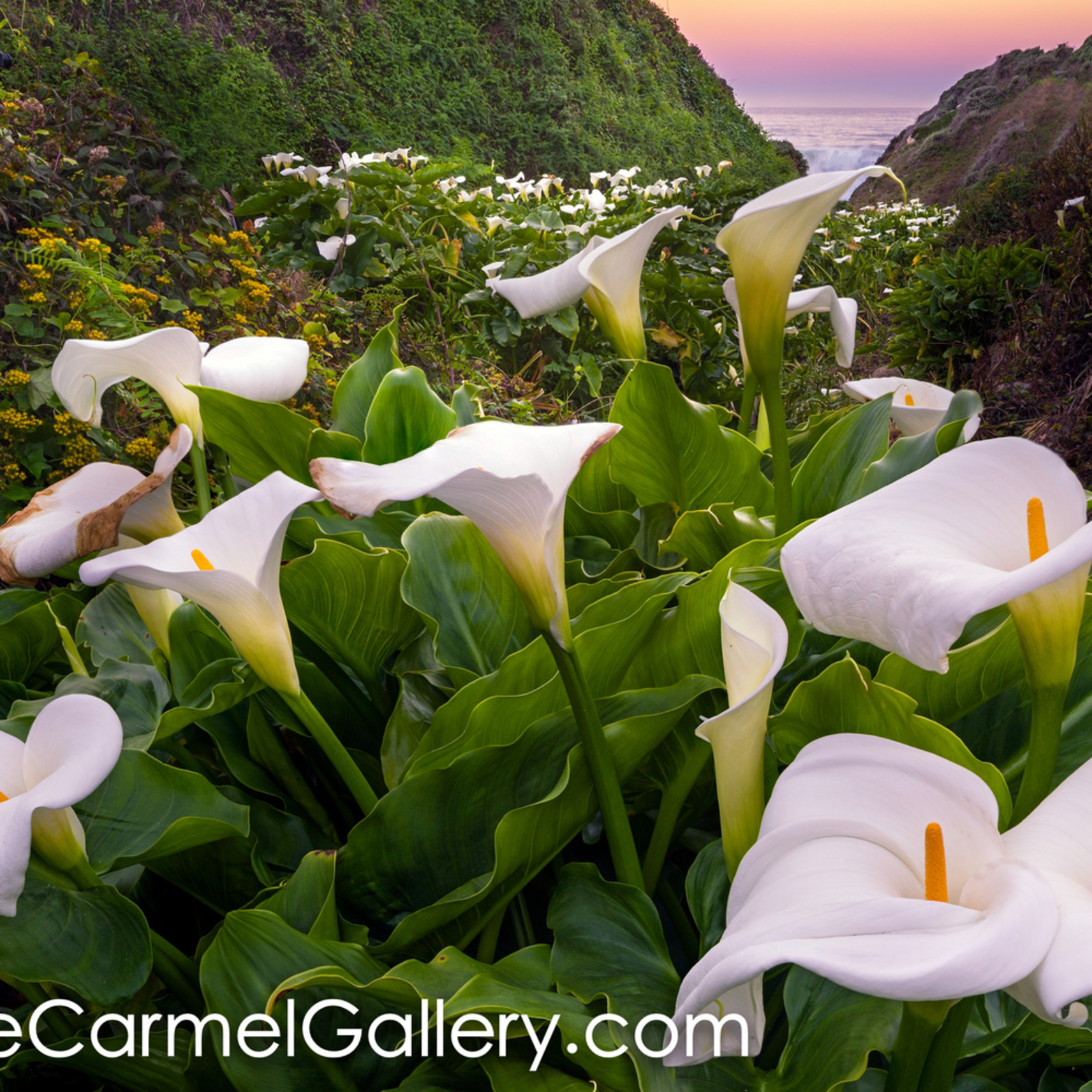 Calla lilly canyon jicuhj