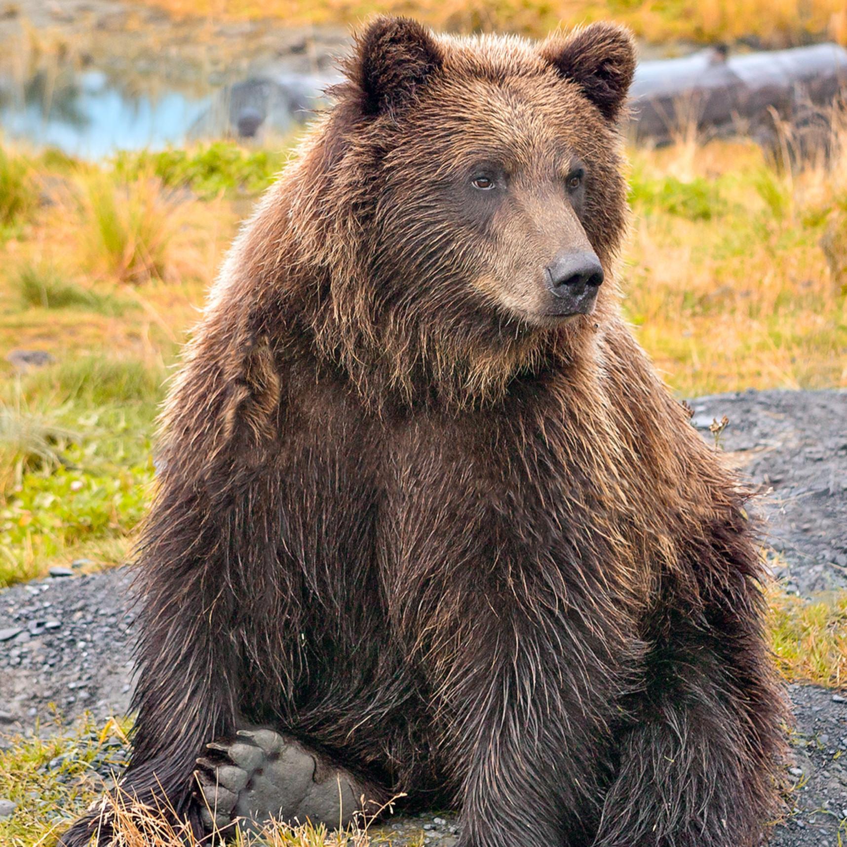 Bear yearling moqmep