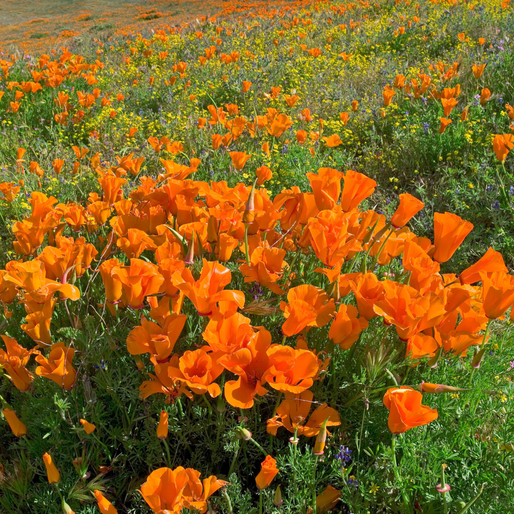 California poppies qeq3xt