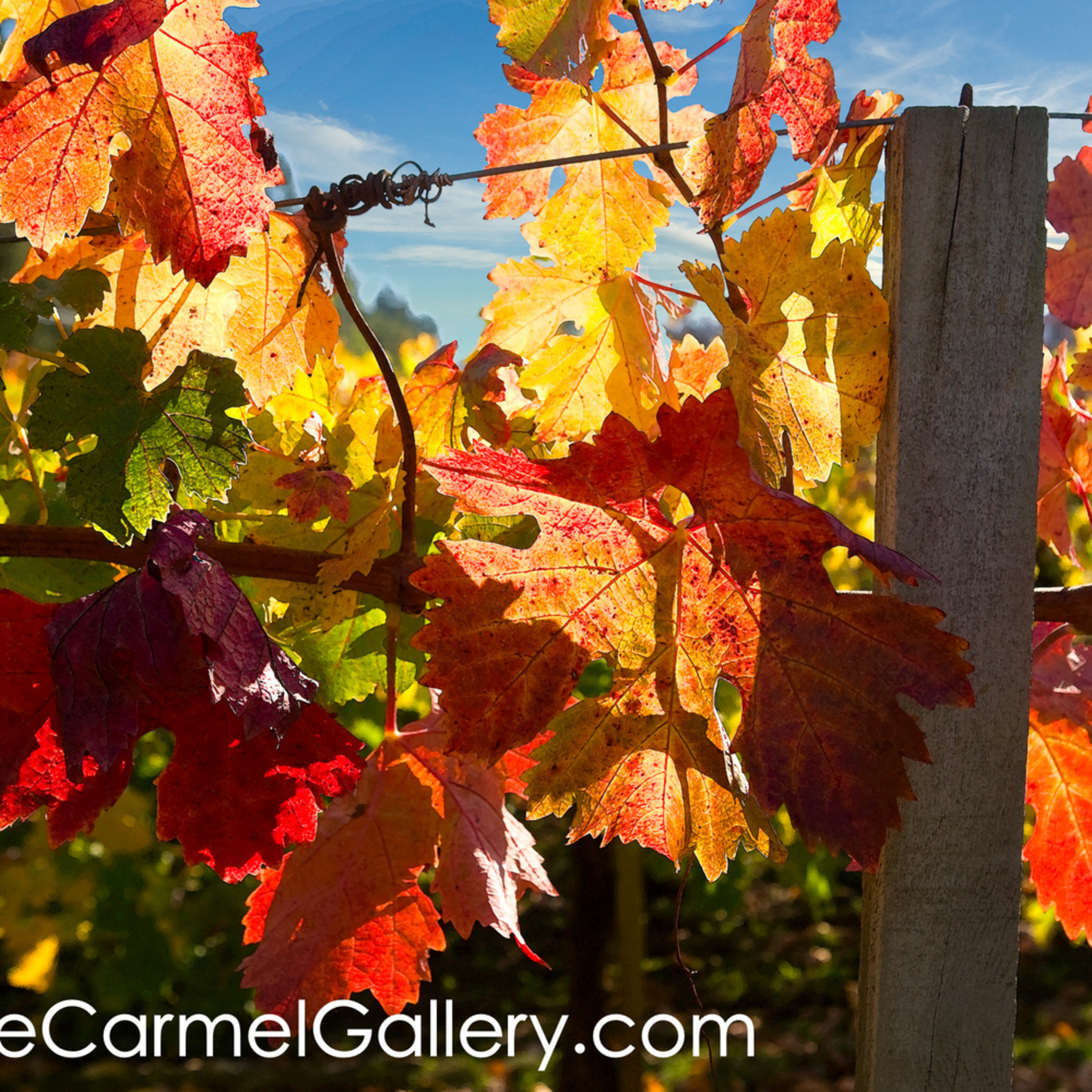 Vineyard fall foliage tbhejg
