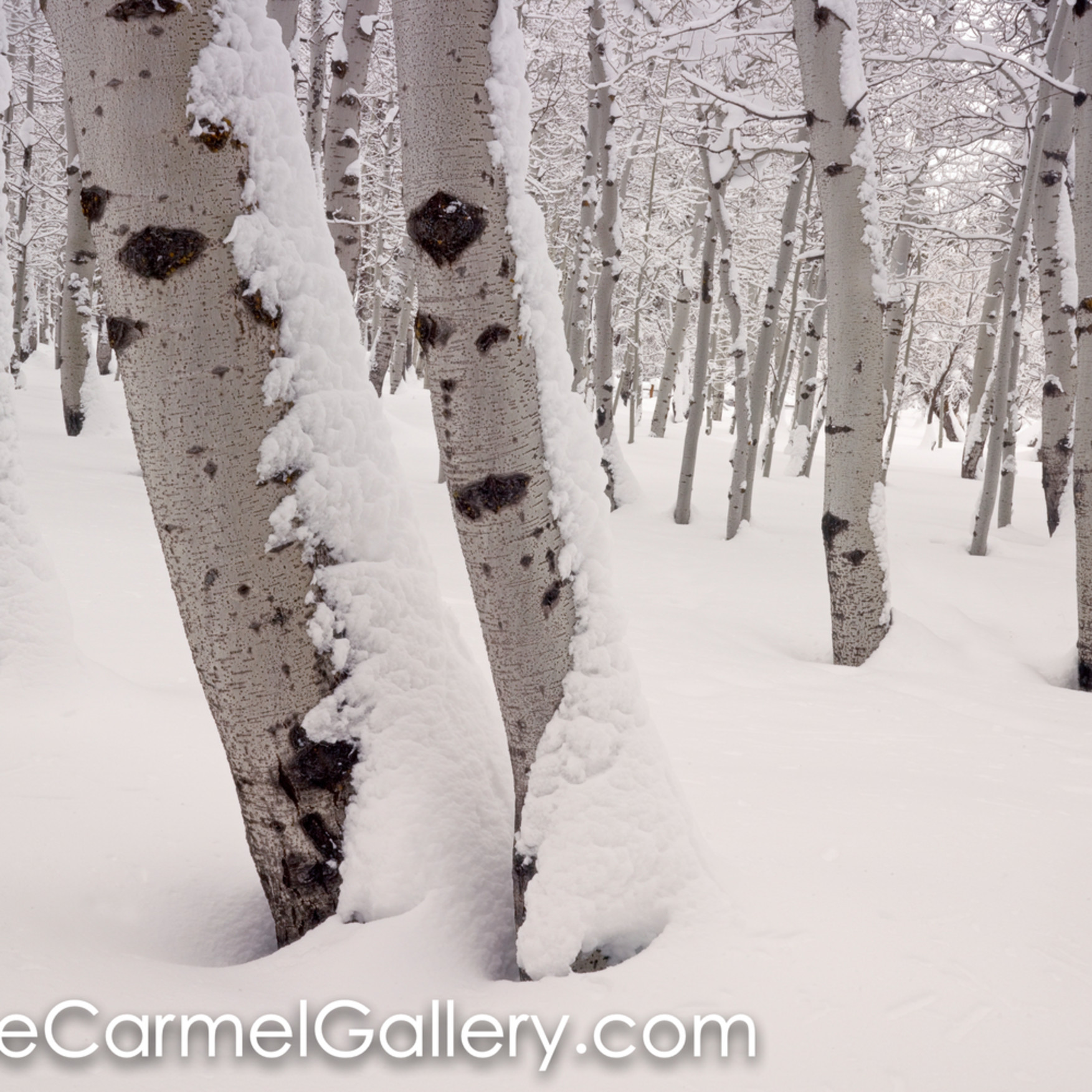 Aspen forest in winter hrhuup