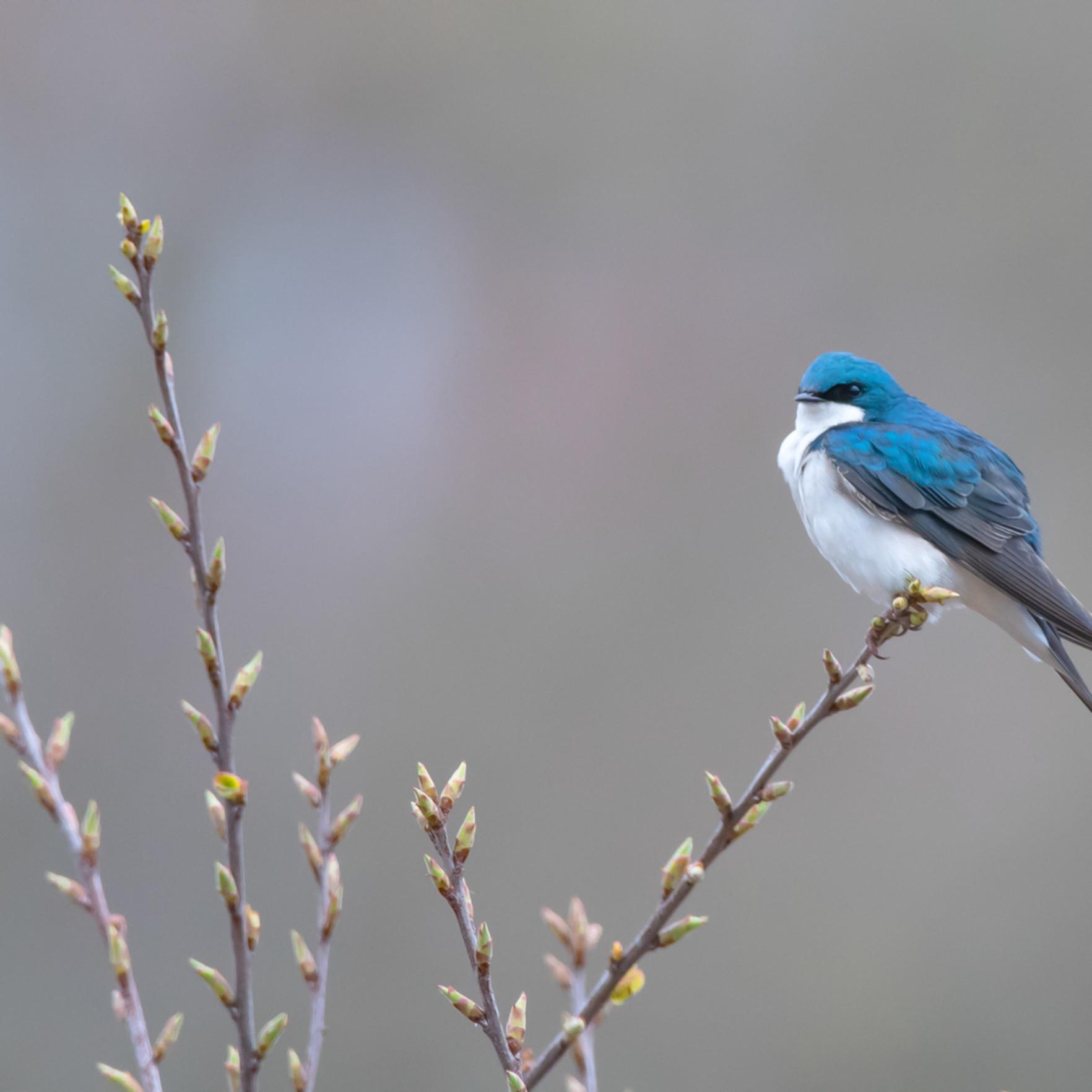 Tree swallow pfgiy5