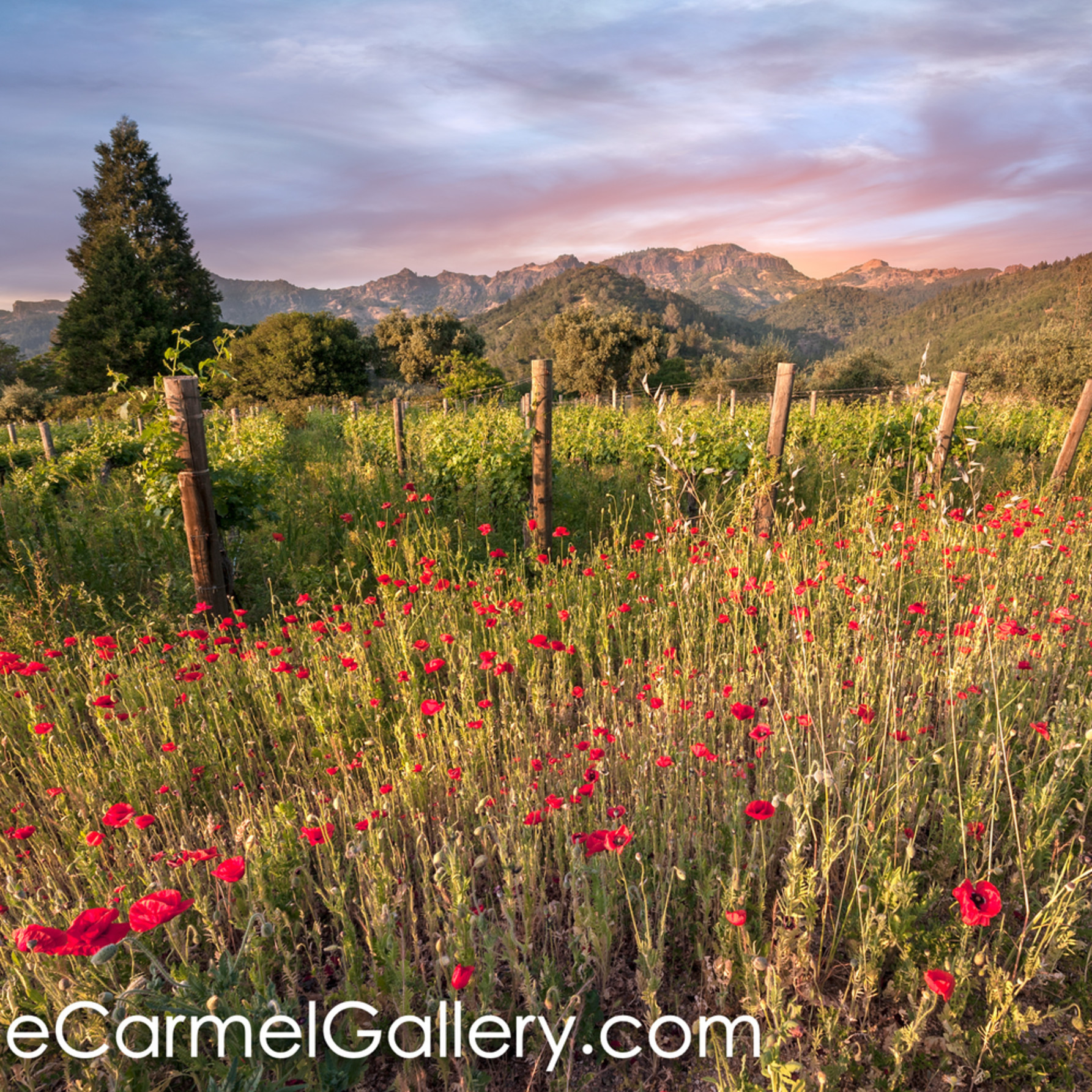Wild poppies and palisades calistoga ii de6rcx