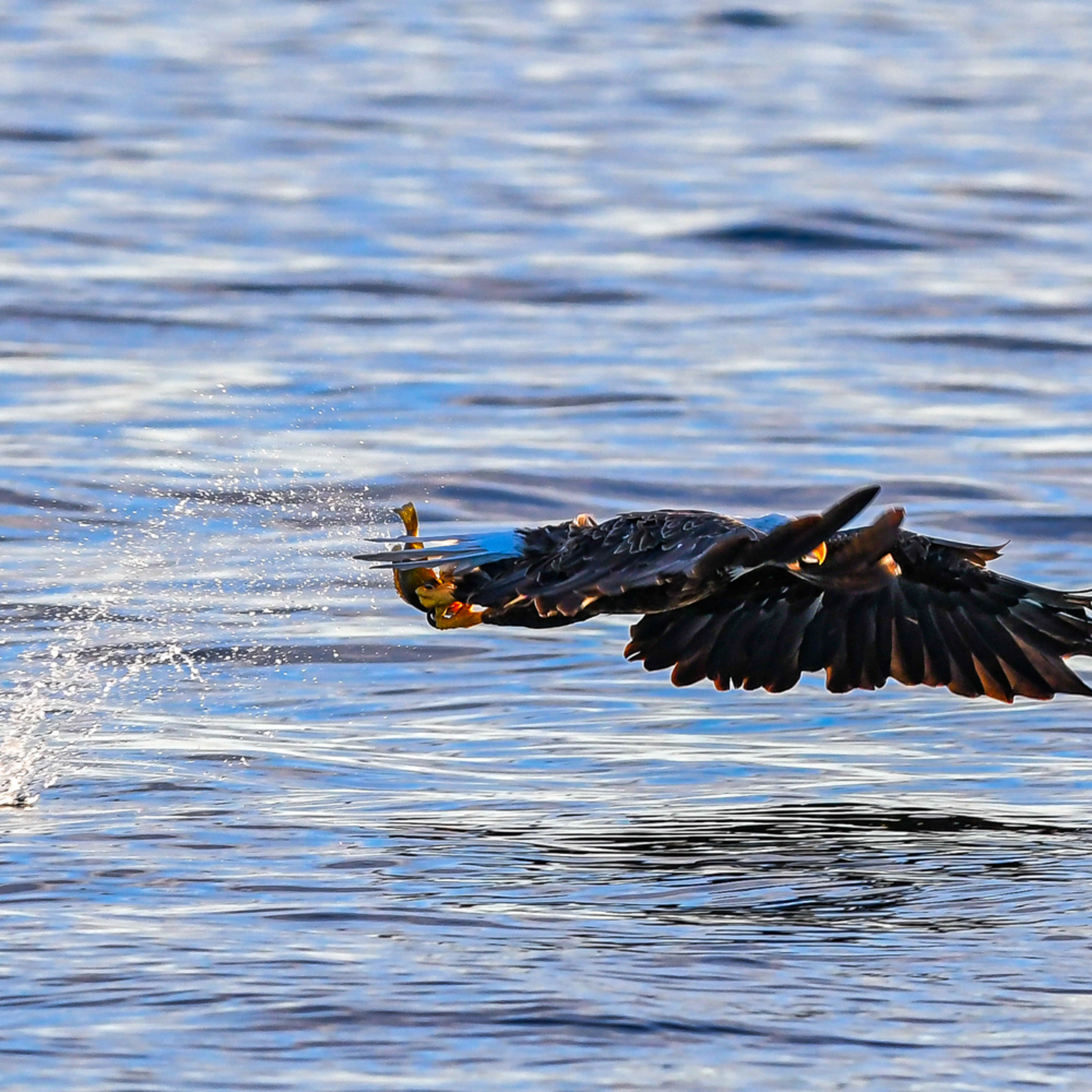 Andy crawford photography eagle catching fish 5 kjt1za