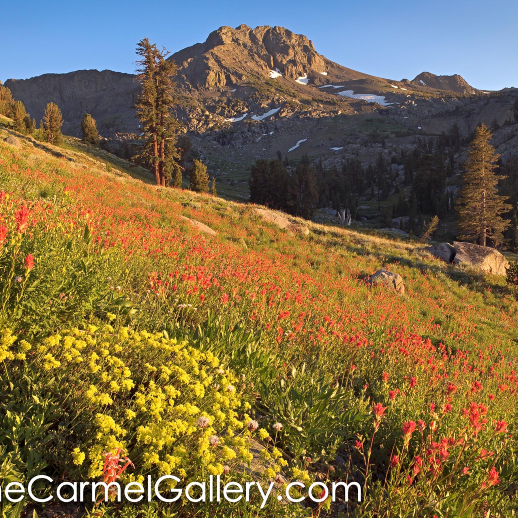Wildflower hillside high sierra orku6c