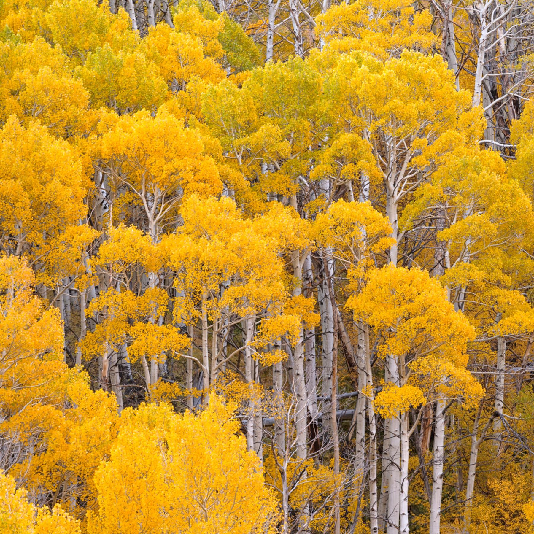 Golden canopy erunj4