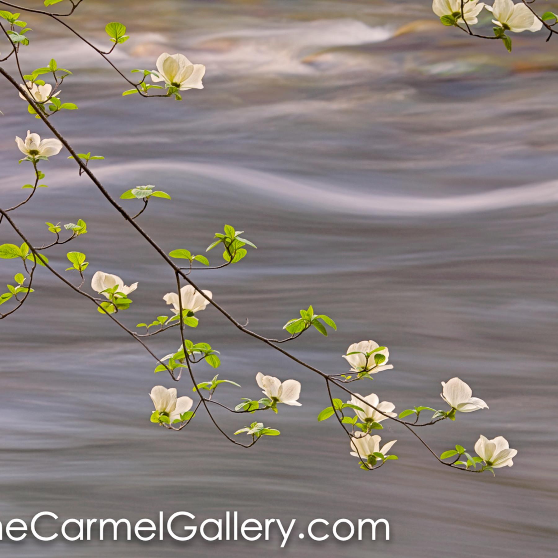 Spring dogwood merced river gkhlbn
