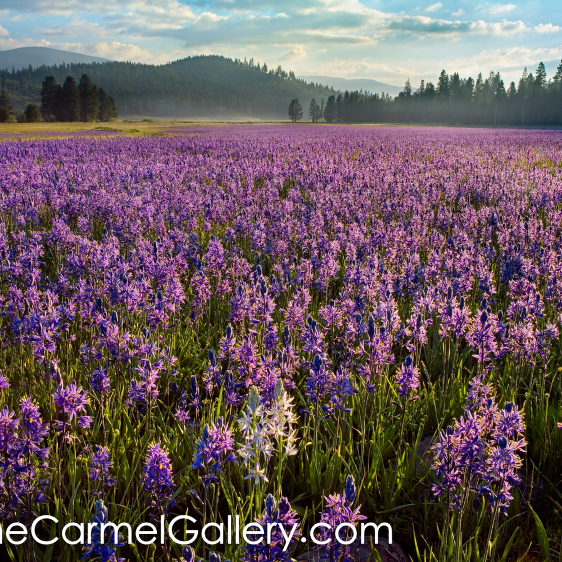 Sunrise on camas lillies m6ufbm