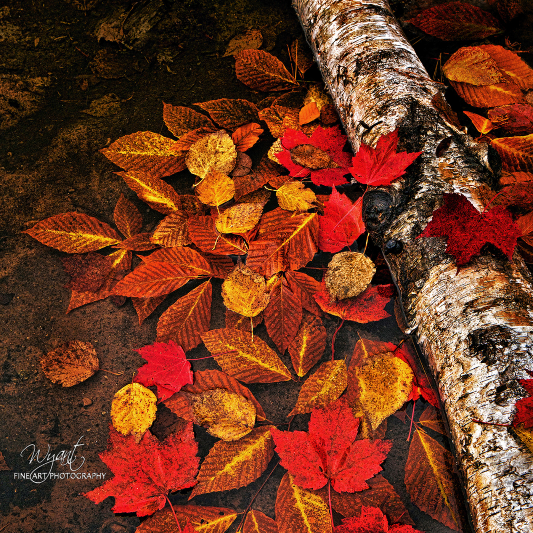 Autumn leaves in water web cwr3z3