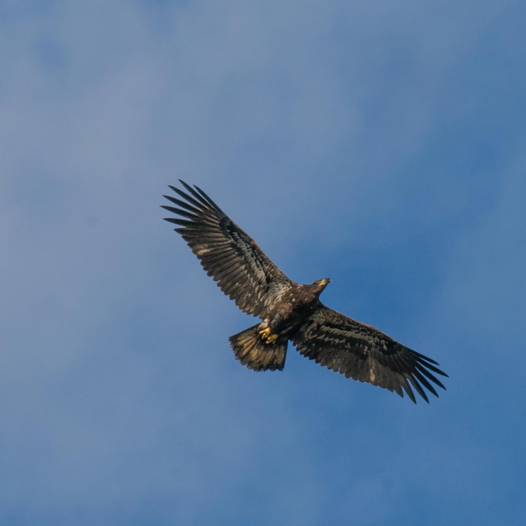 Juvenile eagle ccr9zr