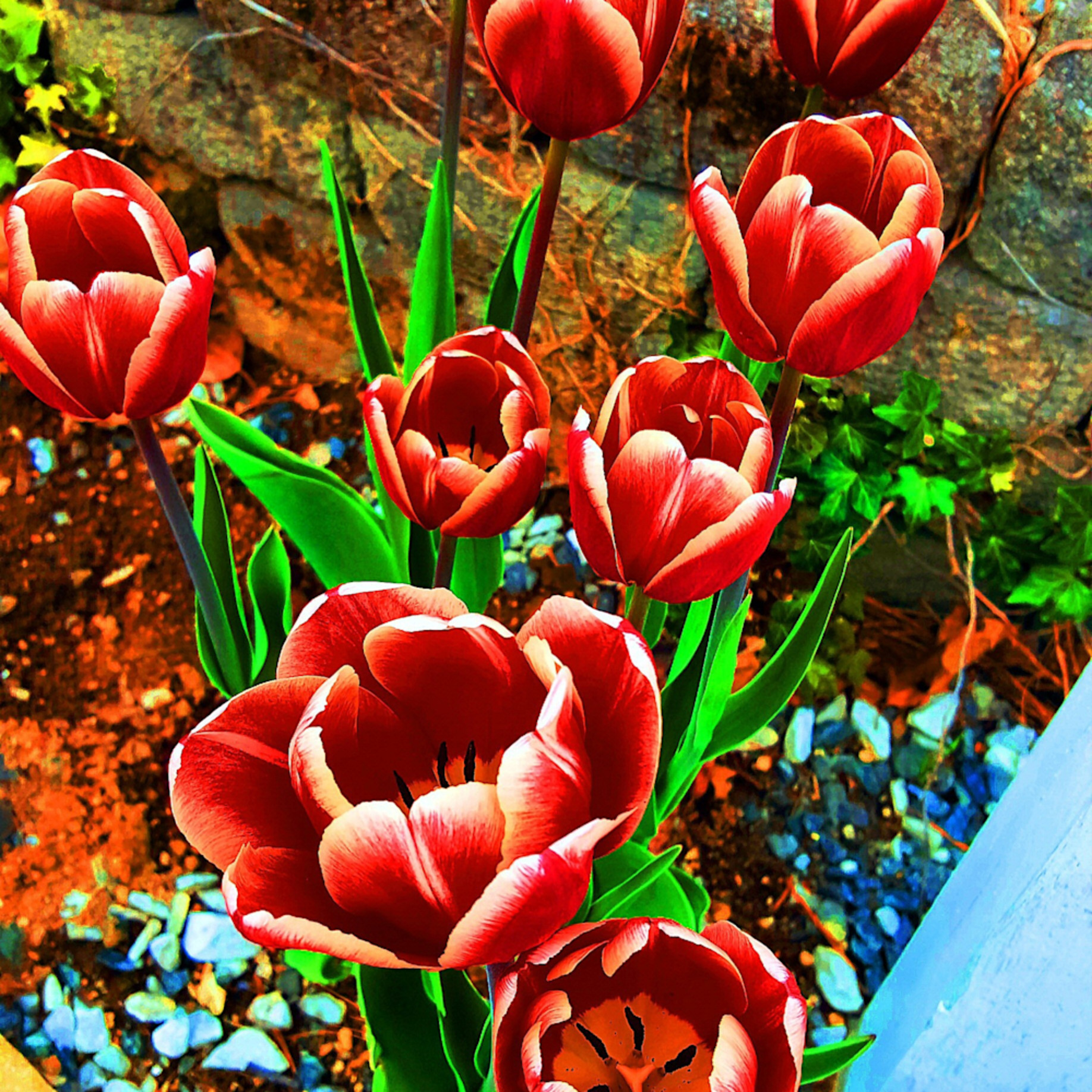 Striped tulips saturated xlamy3