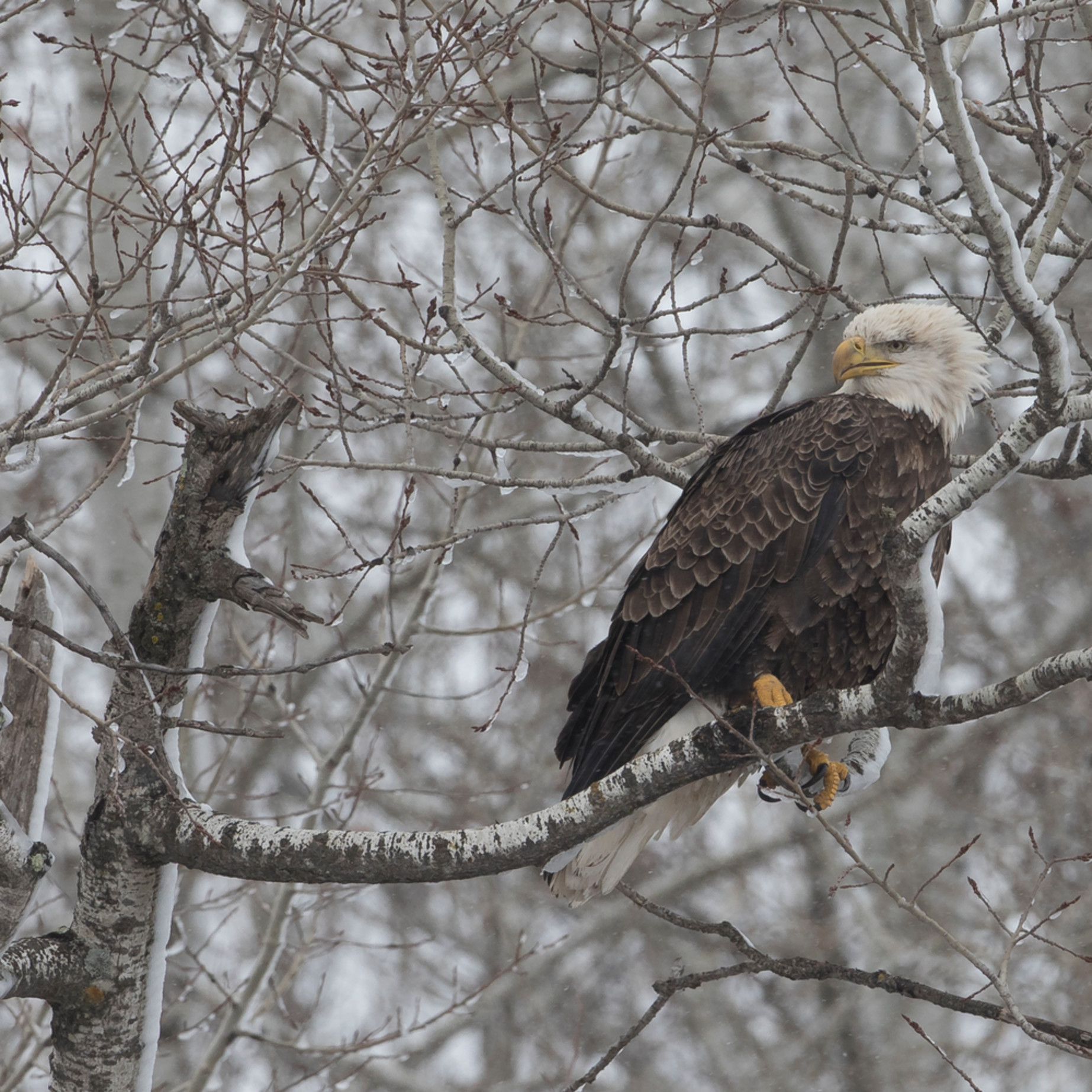 Bald eagle perched in minnesota it0fla