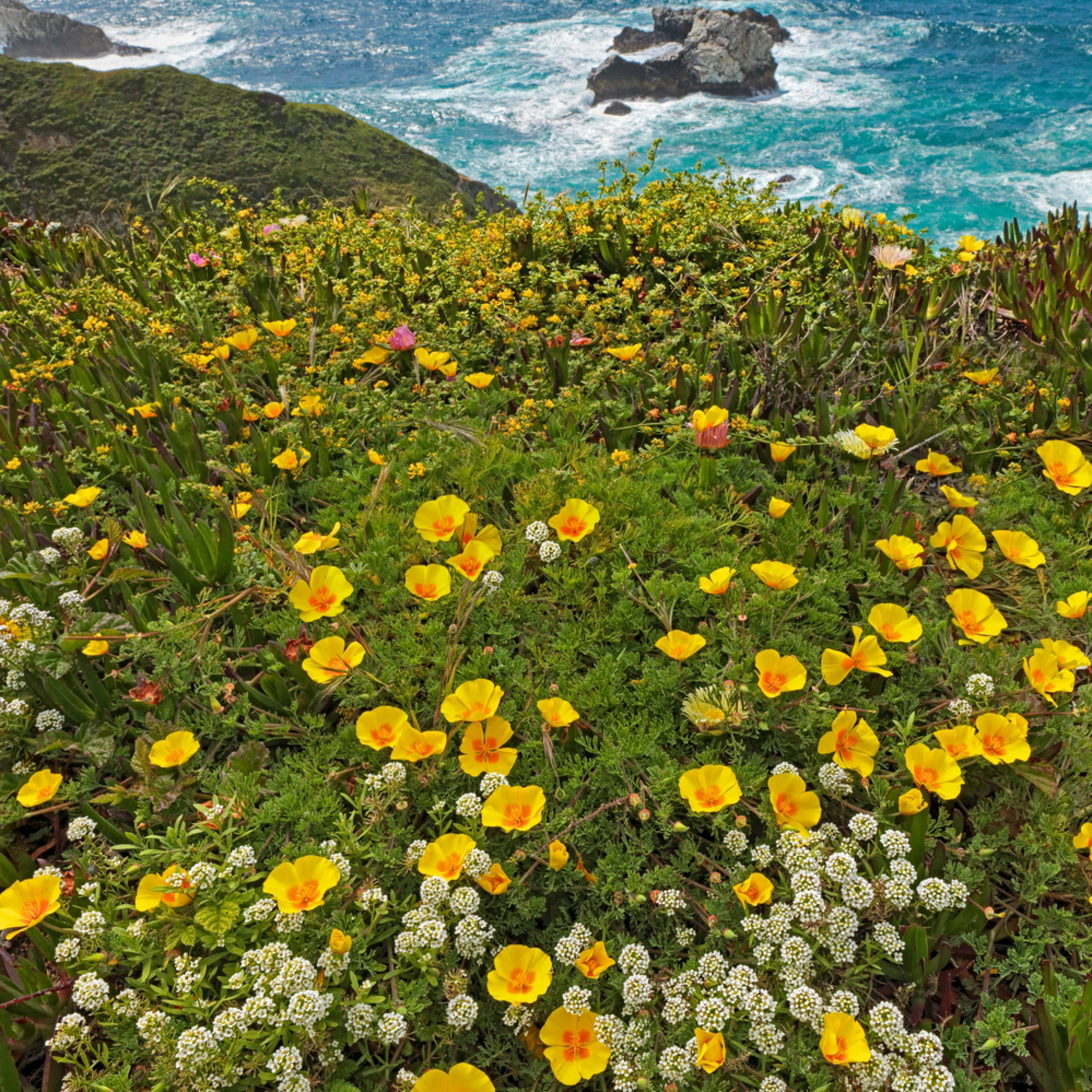 Big sur poppies xb36mj