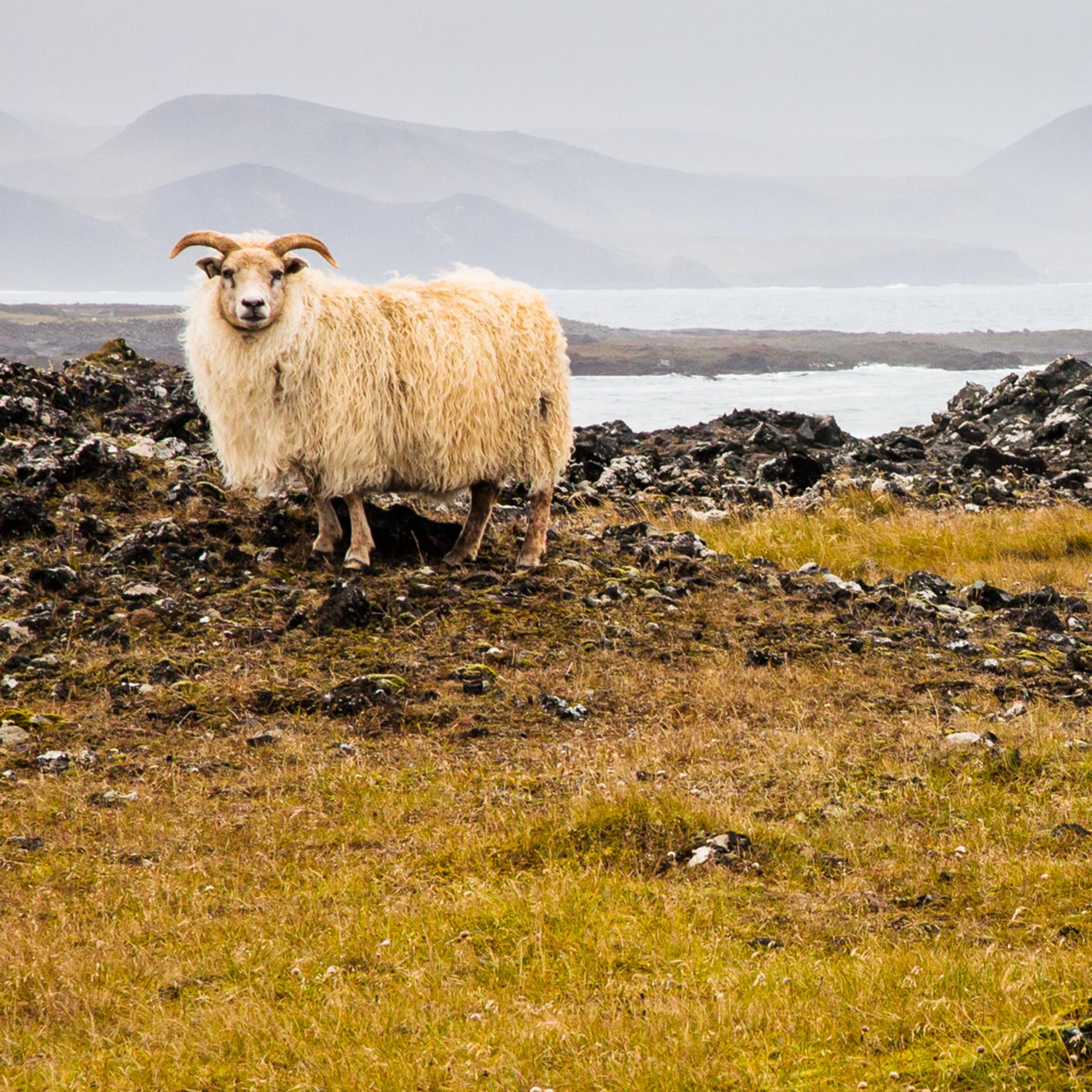 Lone sheep vmstlh