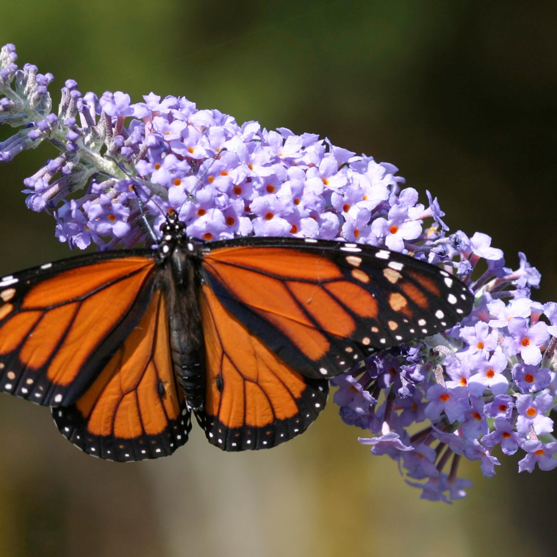 Precious monarch rwvs5i