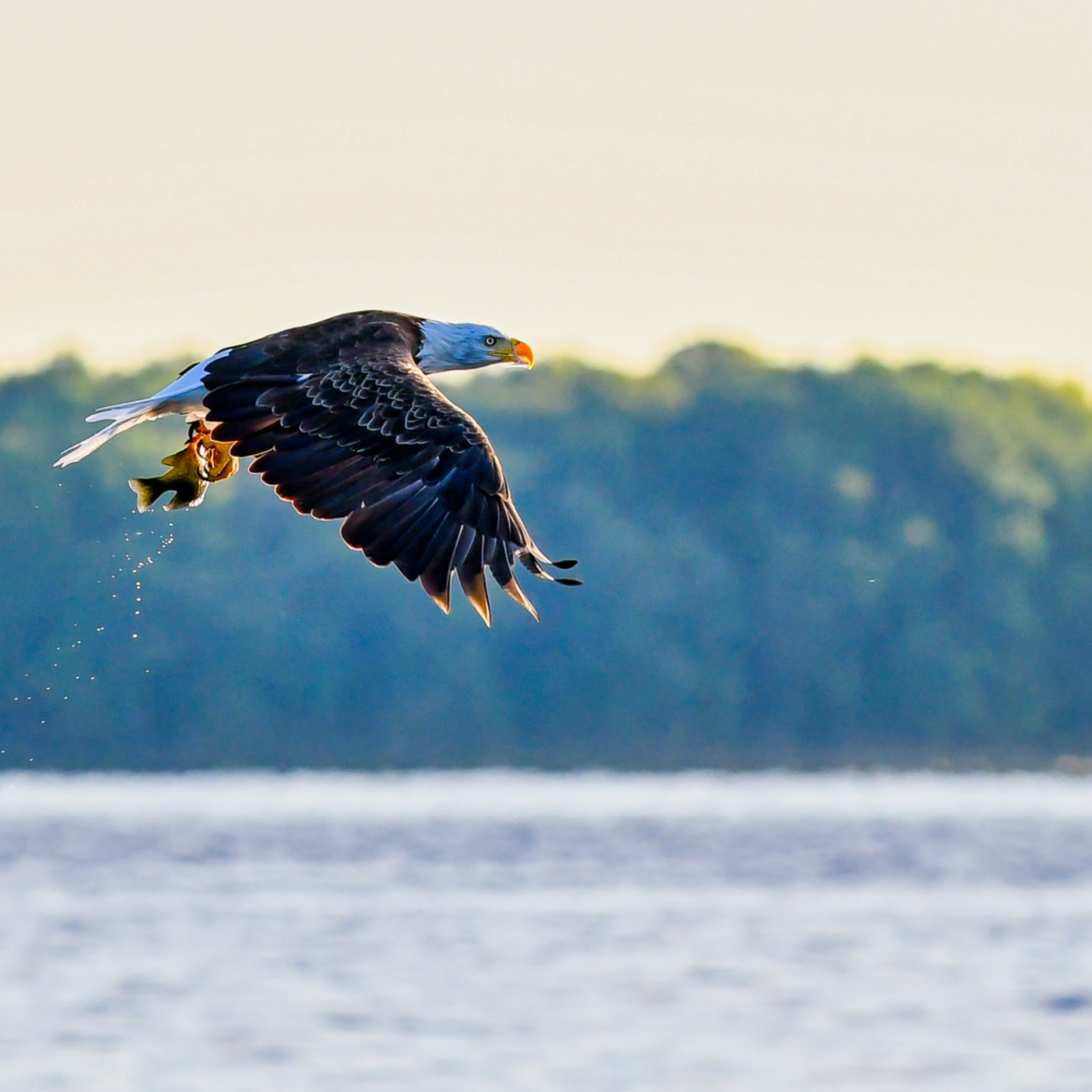 Andy crawford photography eagle catching fish 8 xuewuz