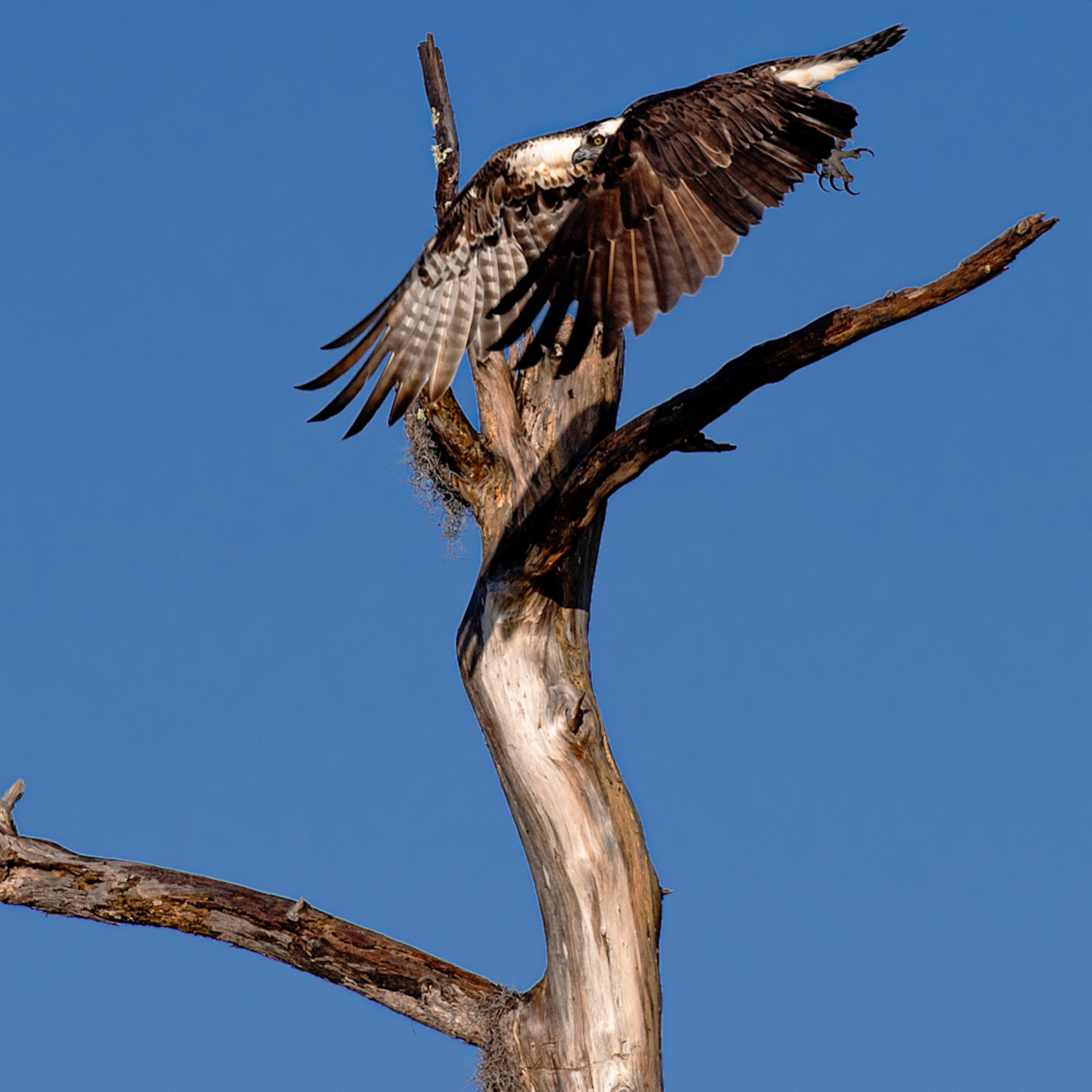 Andy crawford photography osprey taking flight abymgk