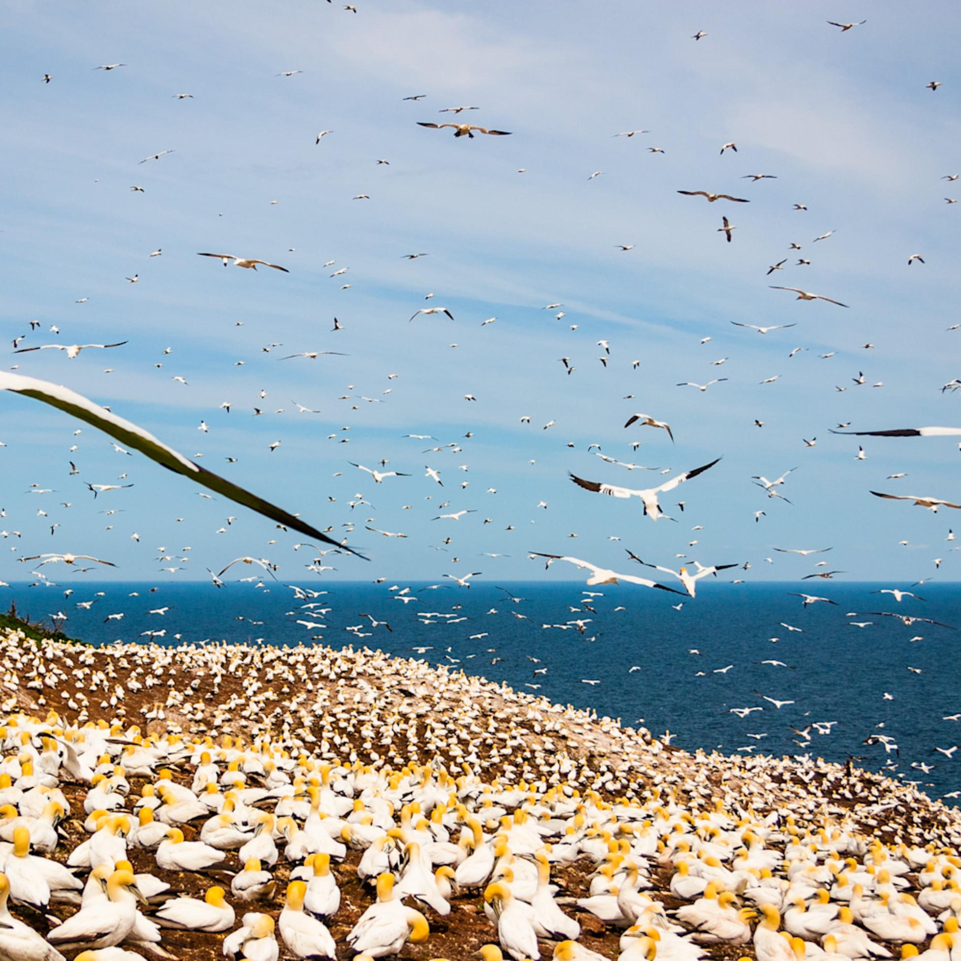 Northern gannets c7euhx