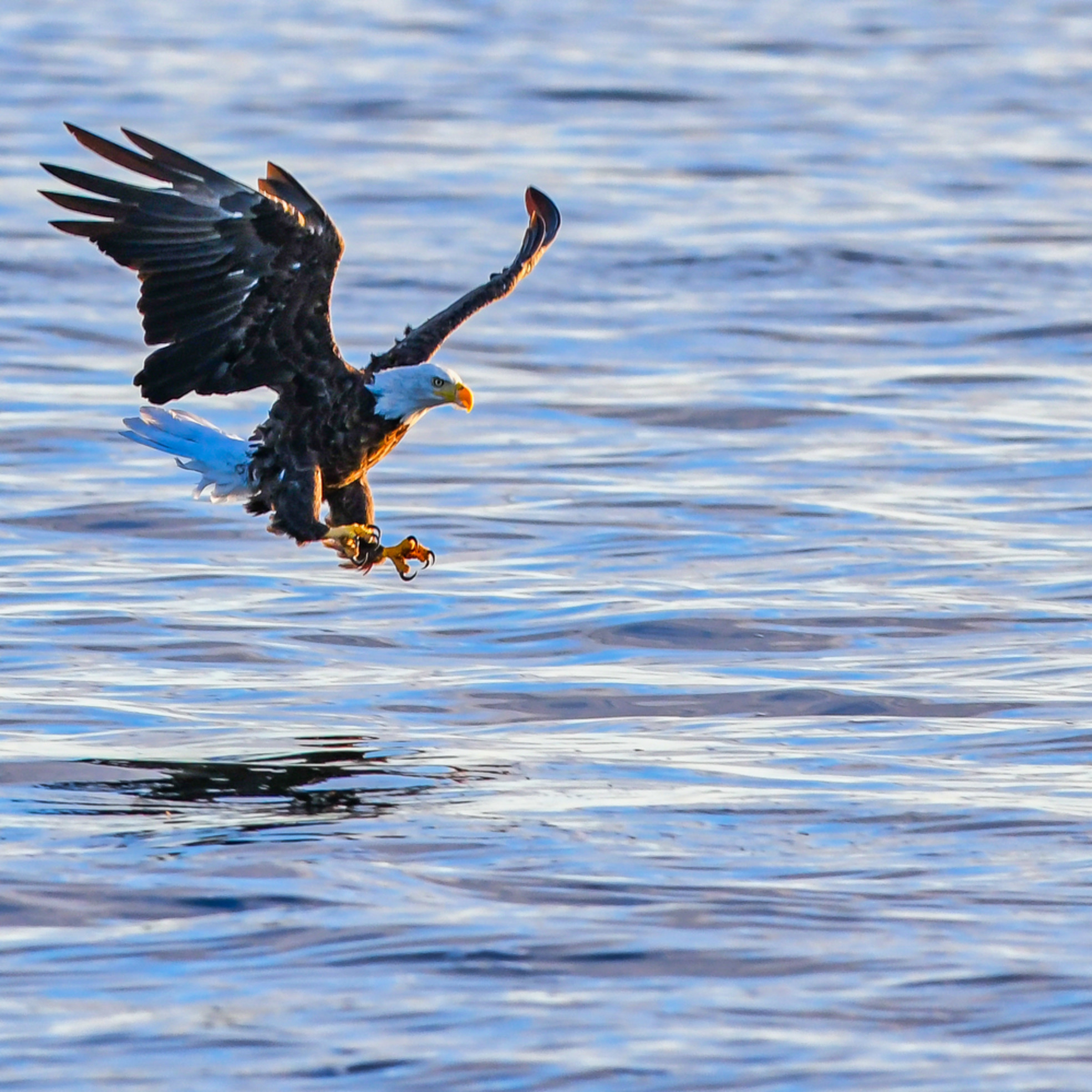 Andy crawford photography eagle catching fish 2 sryxr2