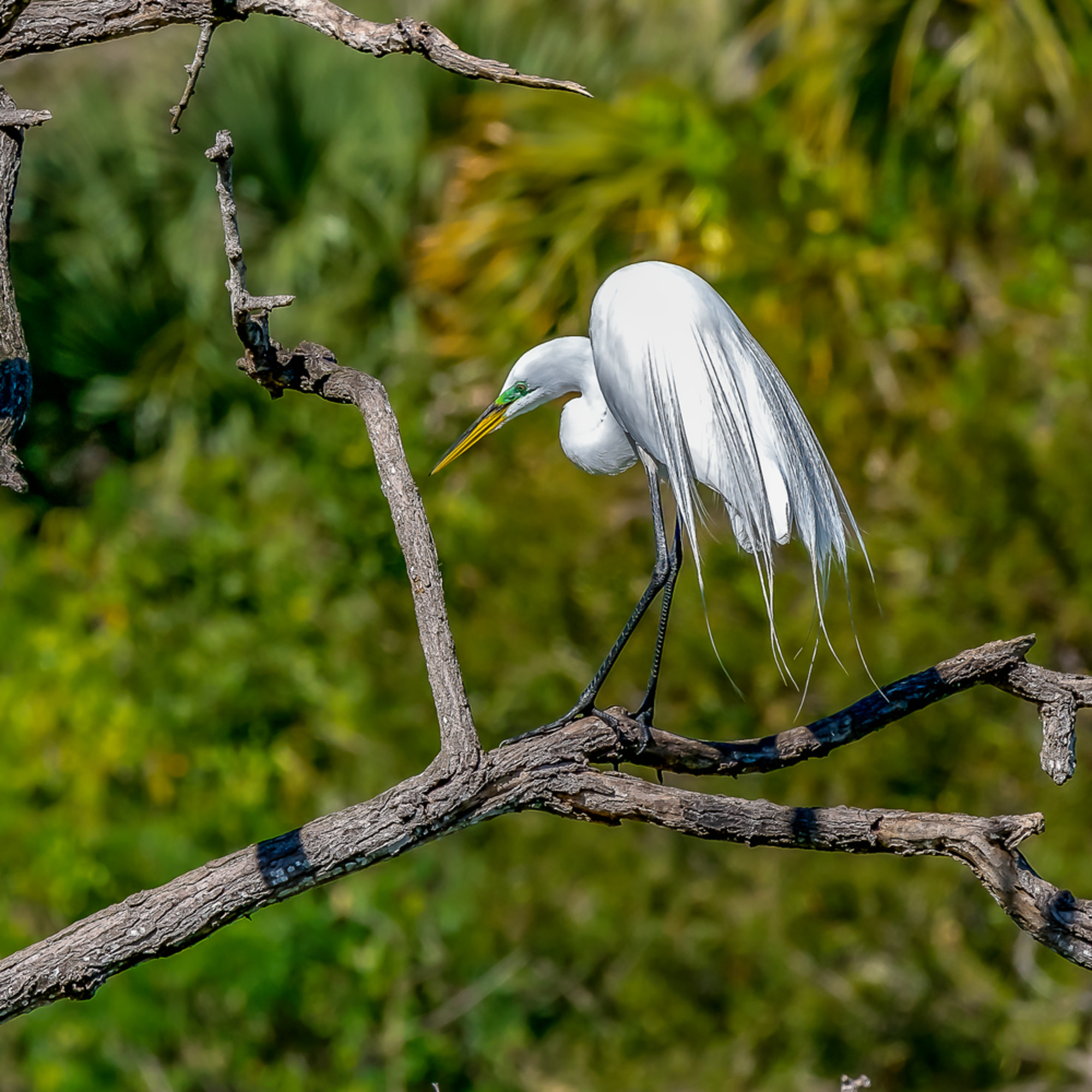 Great egret 4893 2 efwxvf