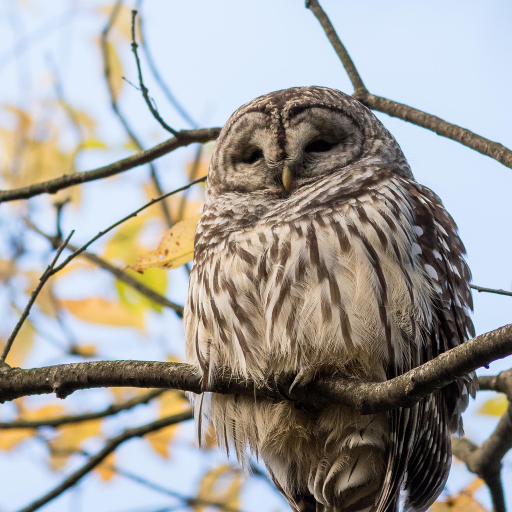 20161022 barred owl 00304 lxm9yf