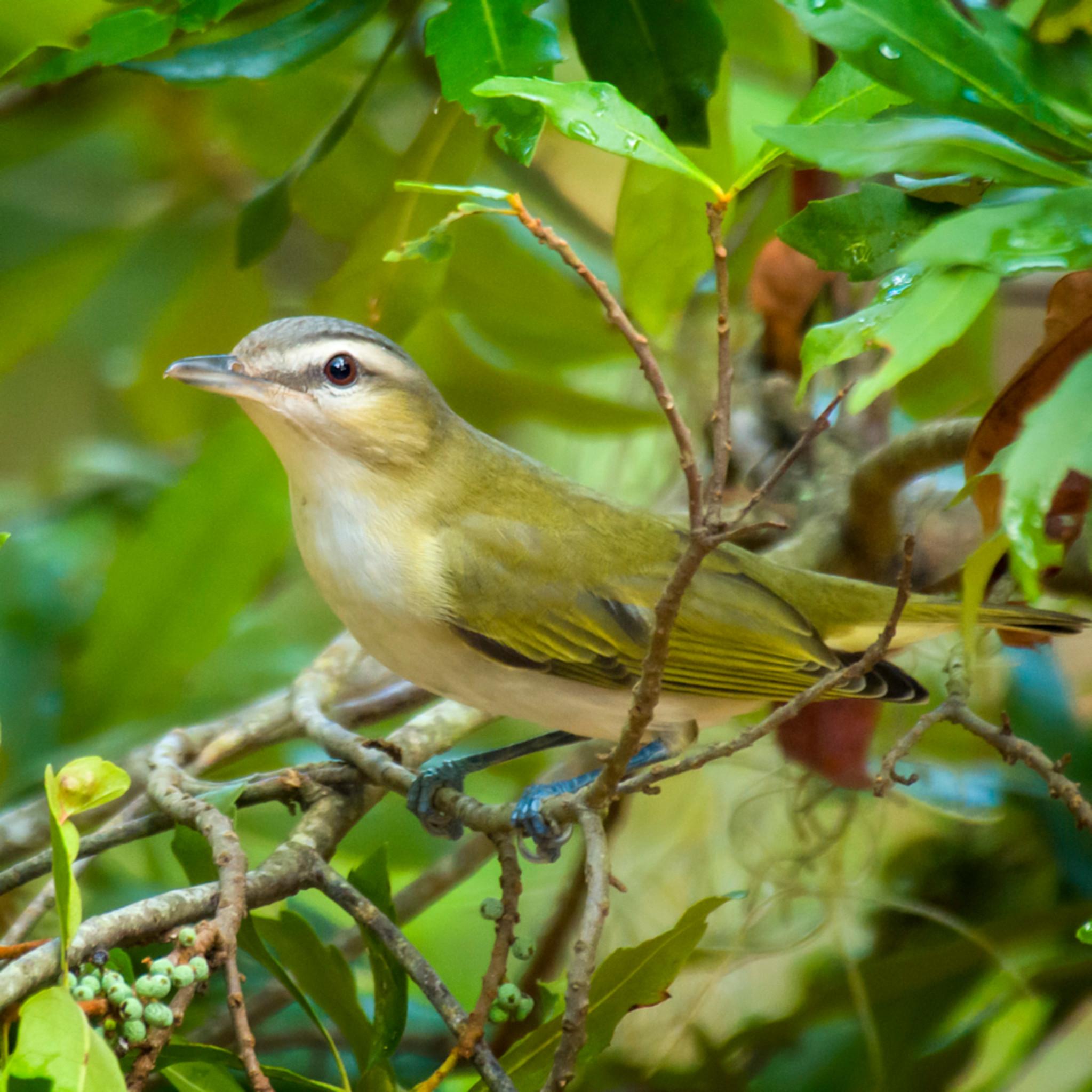 Backyard birds   aug2019  2 20190821 0180 isgobq