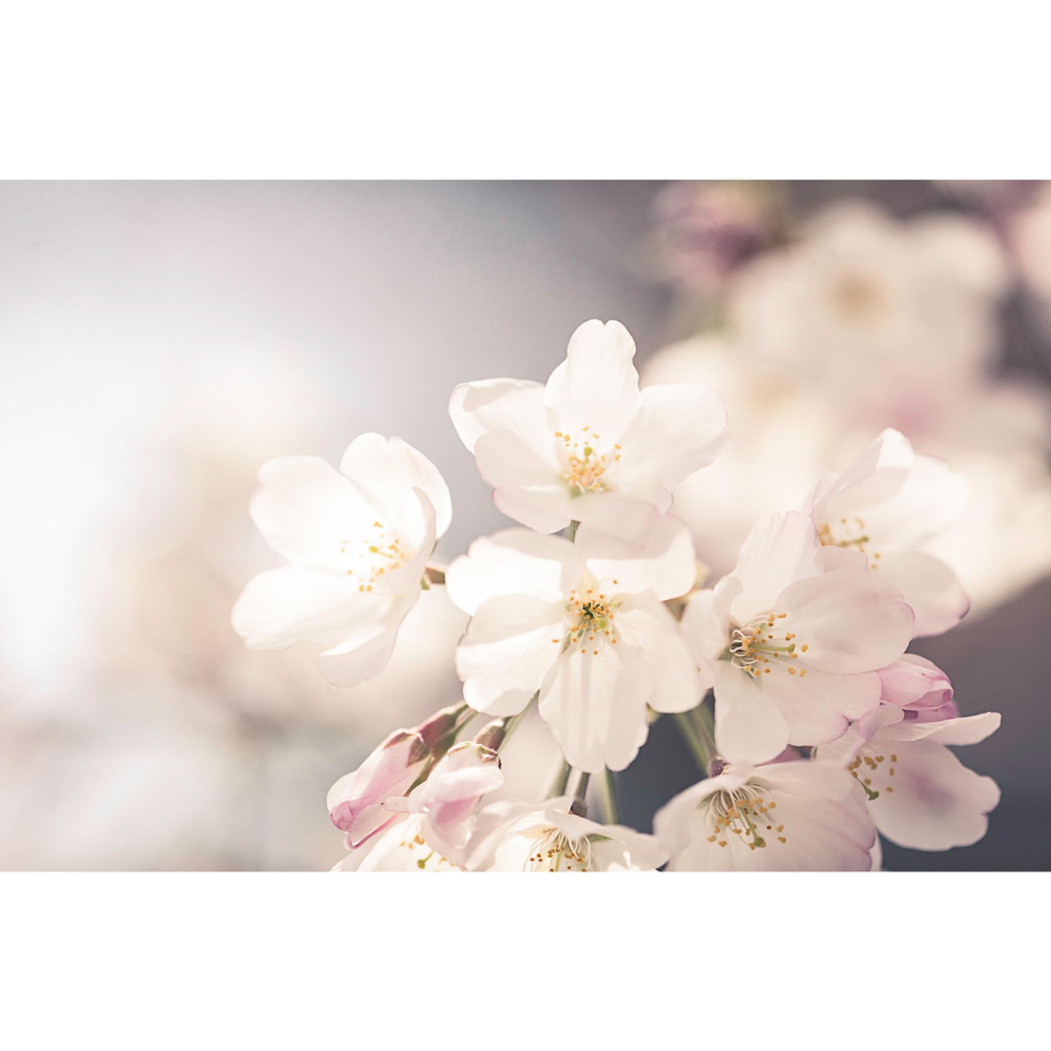 Cherry blossom tryptic e66lwr