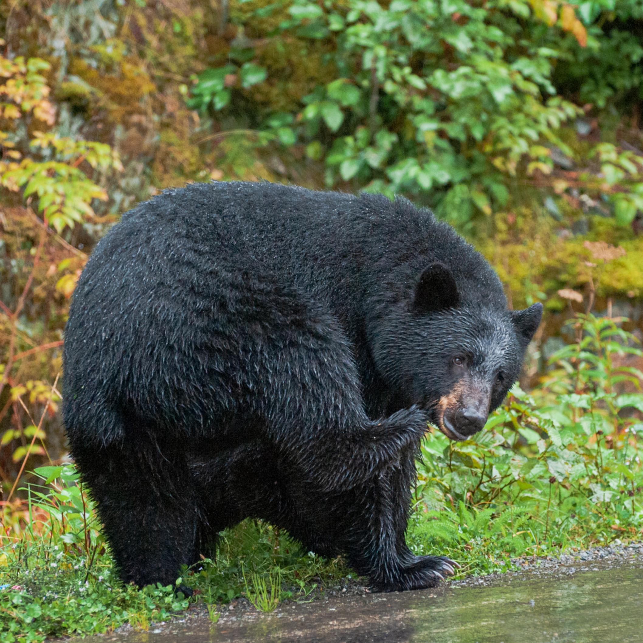 Dsc 5023 black bear mom bvwznf