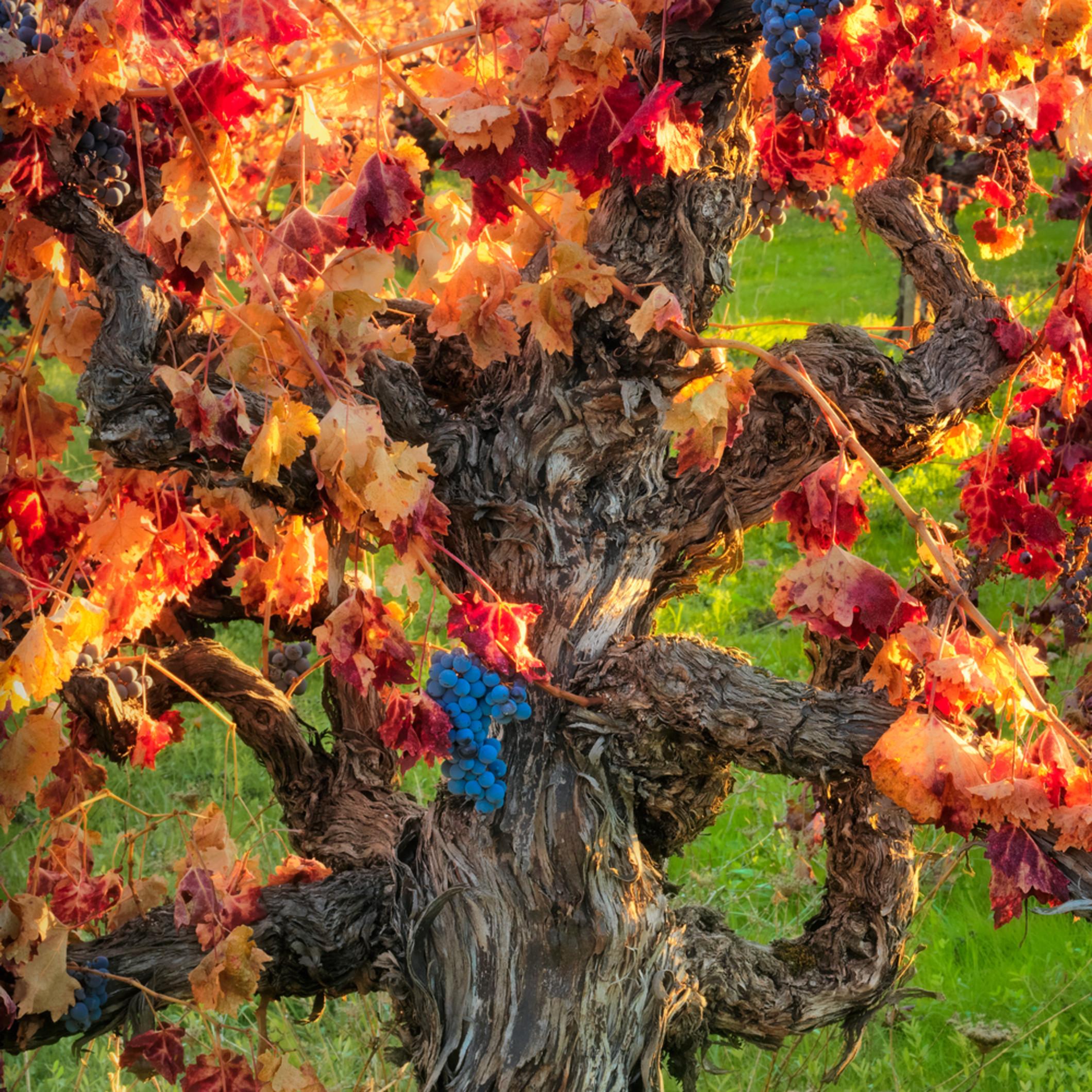 Autumnharvestnapa sdyyq6