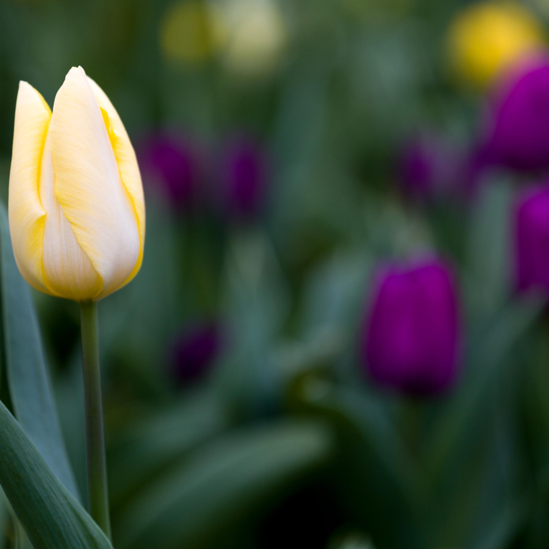Tulip colors t610aa