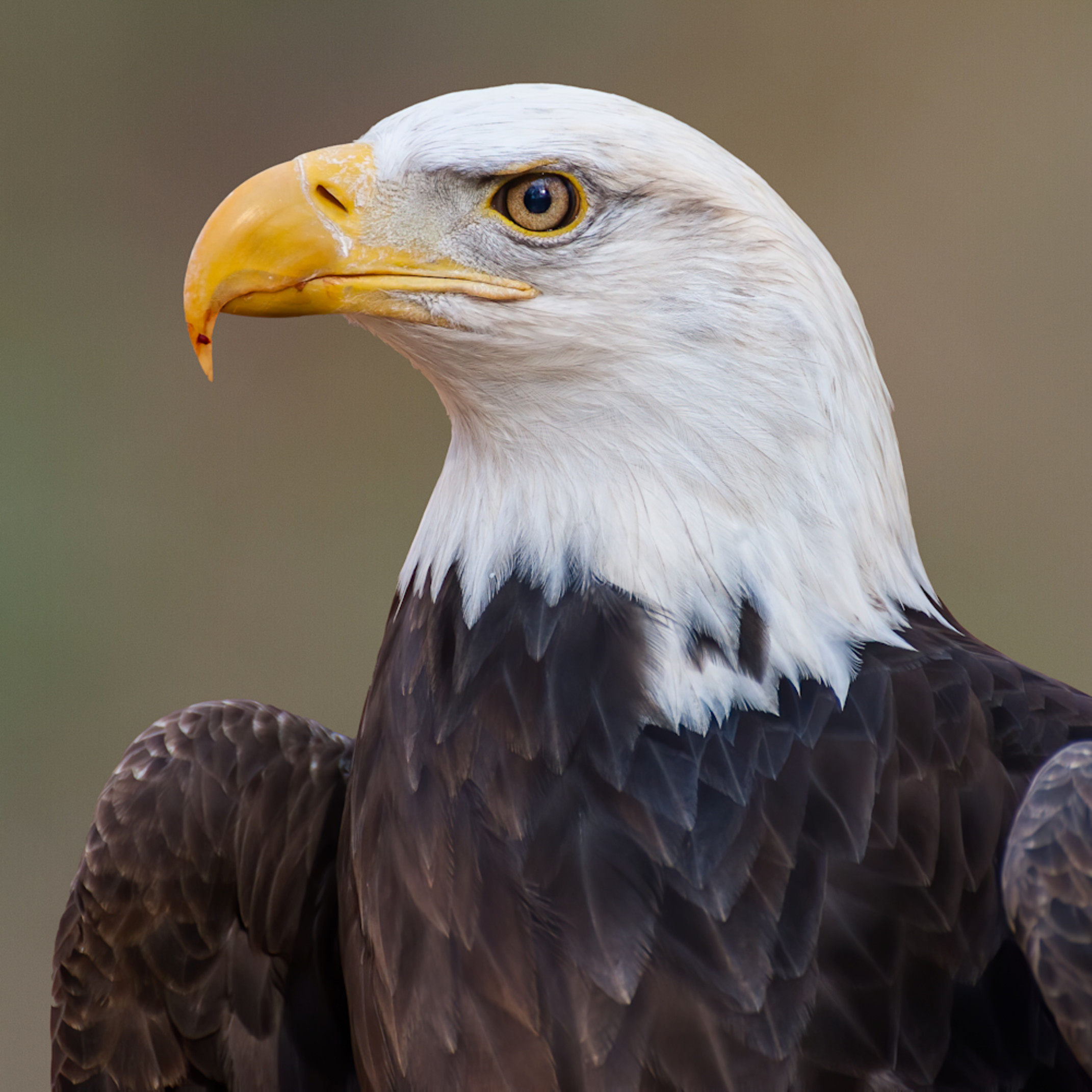 Photowild bald eagle cuda k9xzow
