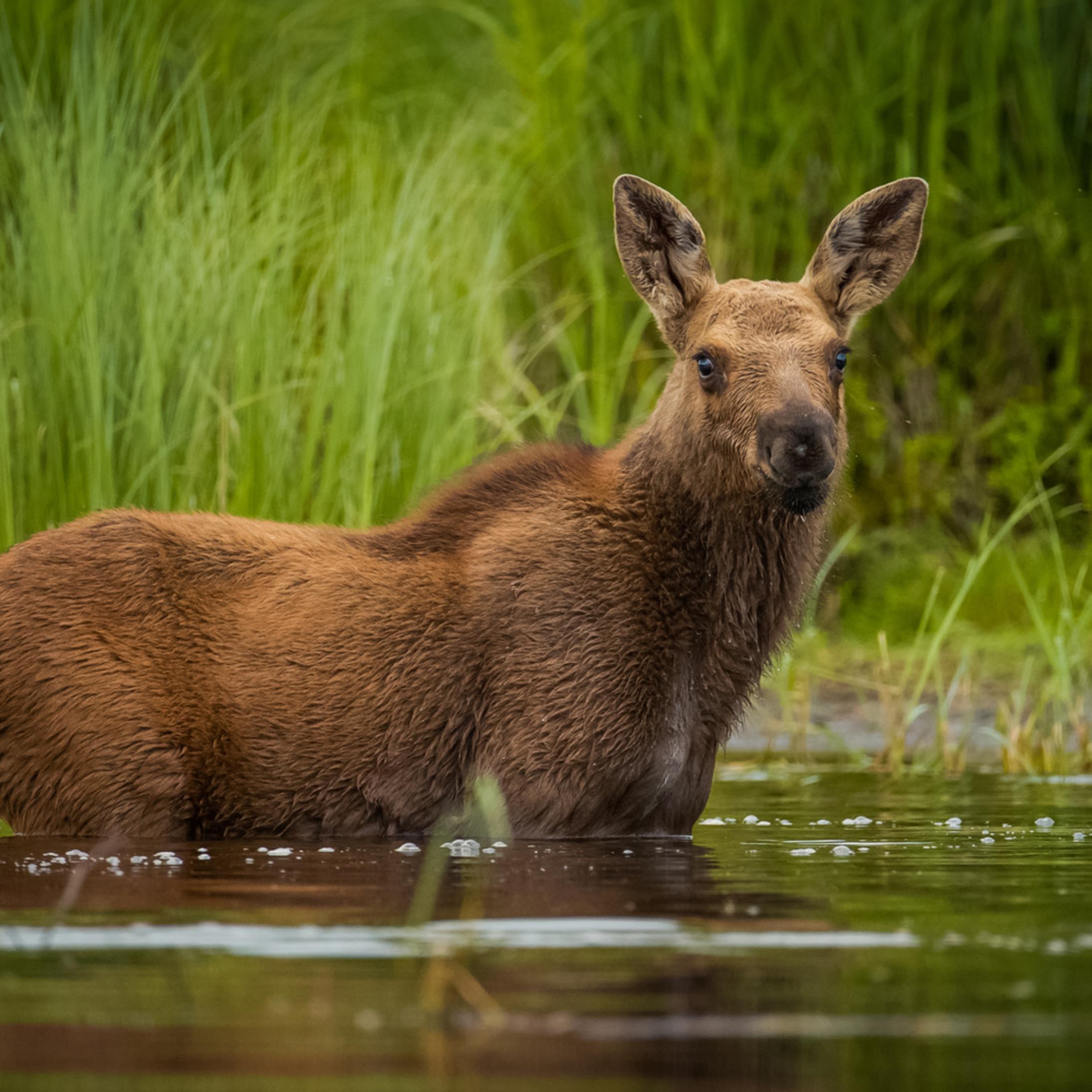 Moose calf pb3ure