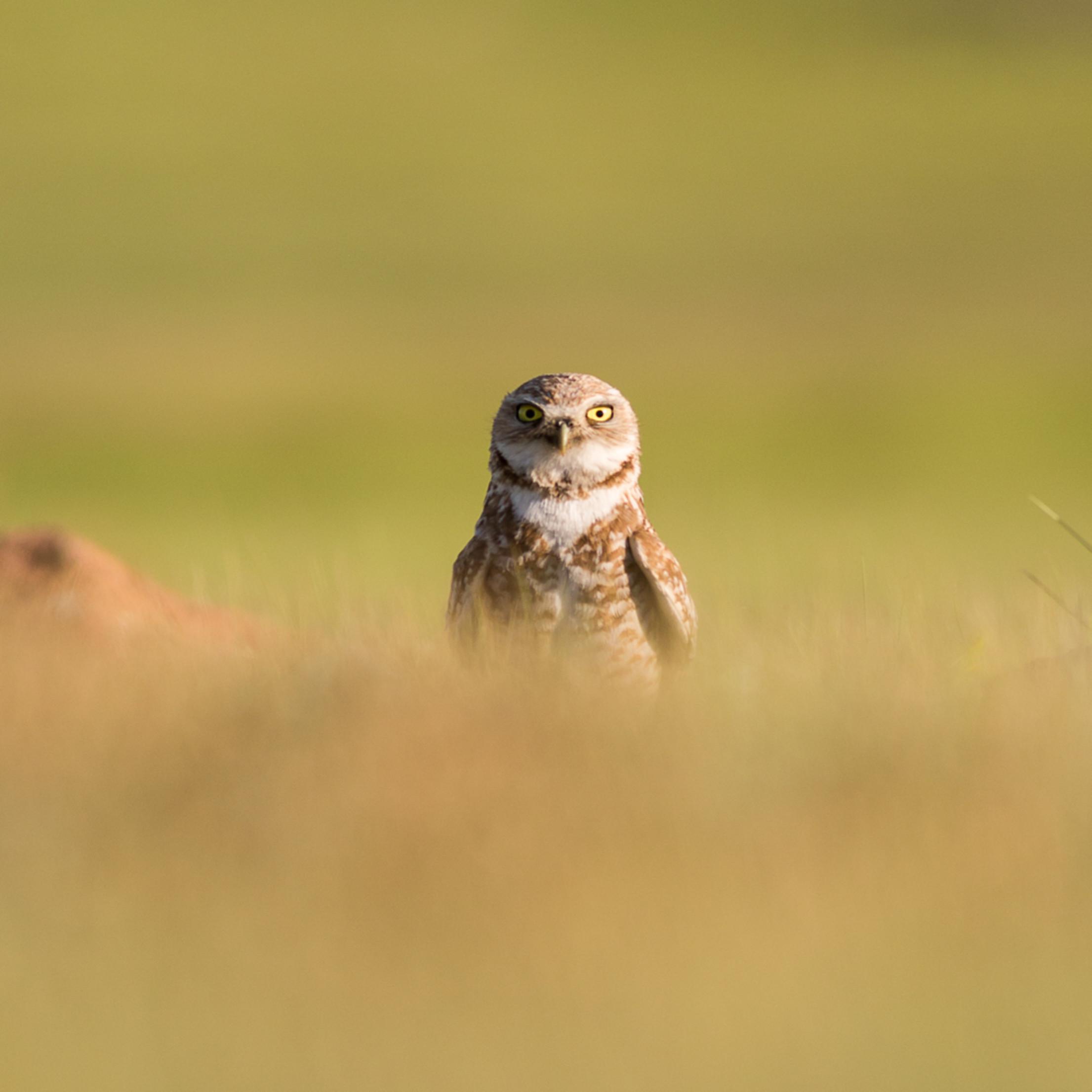Burrowing Owl Peek A Boo
