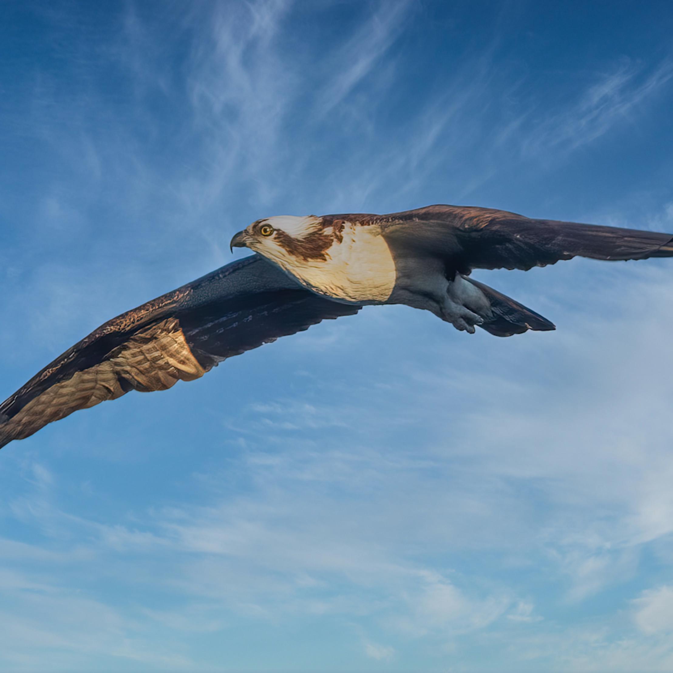 Osprey soars above lake mercer jyv3wc