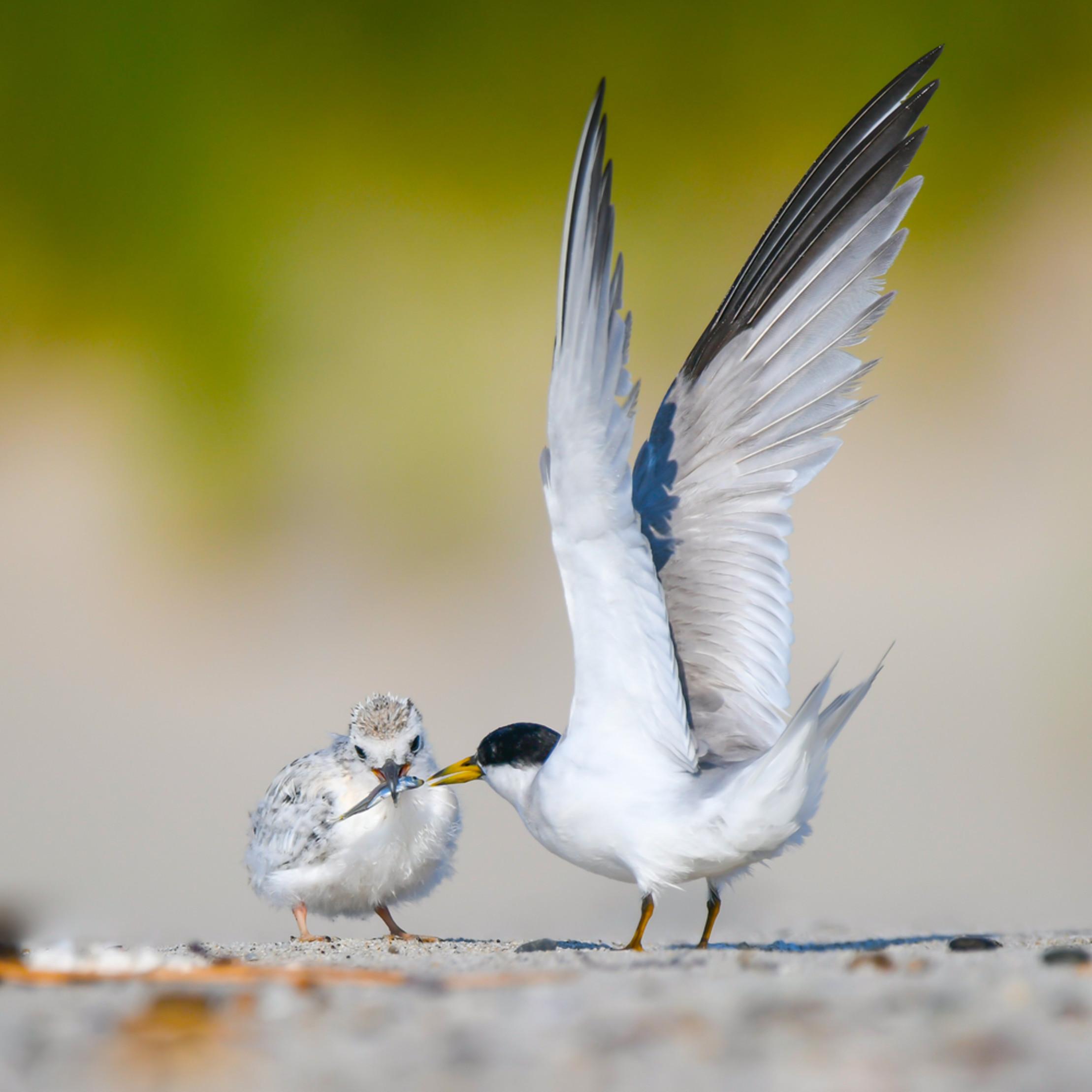 Tern feeding j7rdle