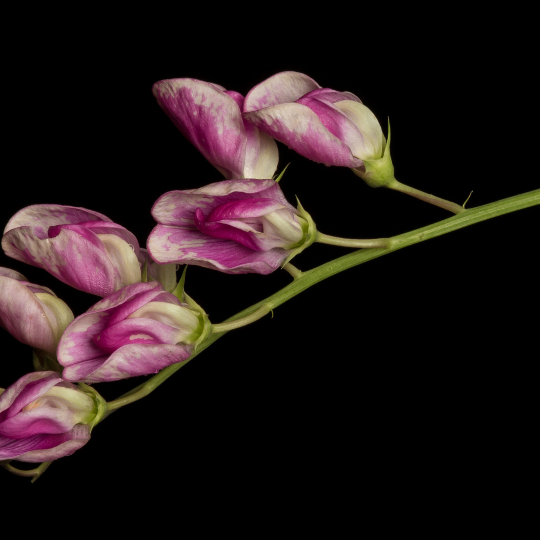 Invasive beauty perennial pea lathyrus latifolius bvykgh