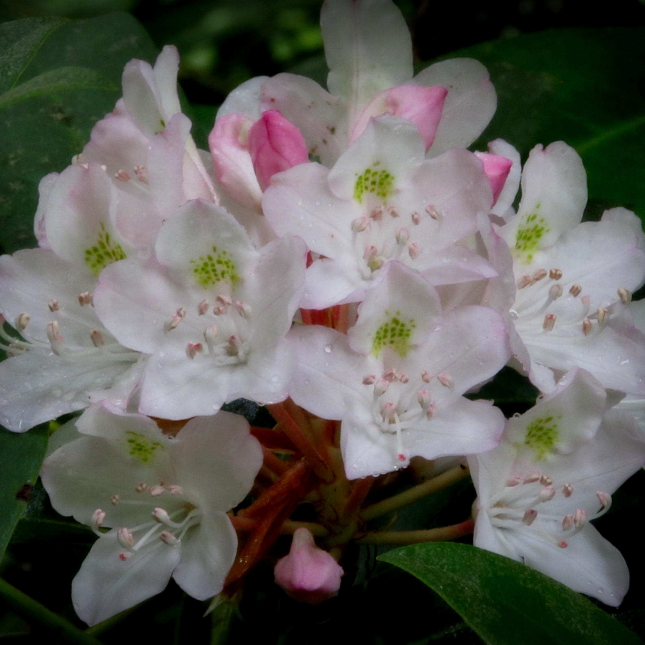 Rhododendren 003 mbc0gz
