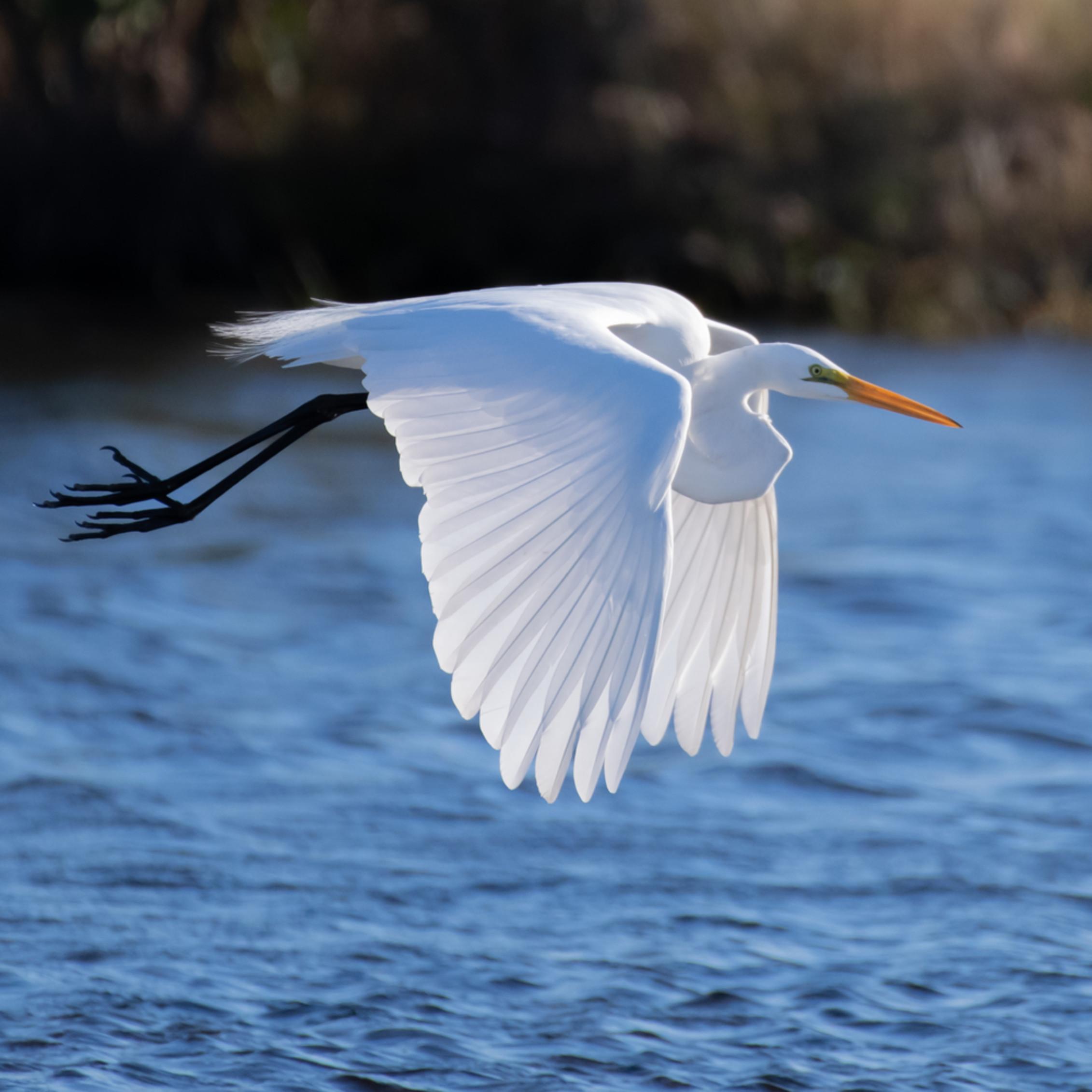 Egret portraits angel one great egret asfprint vwdztu