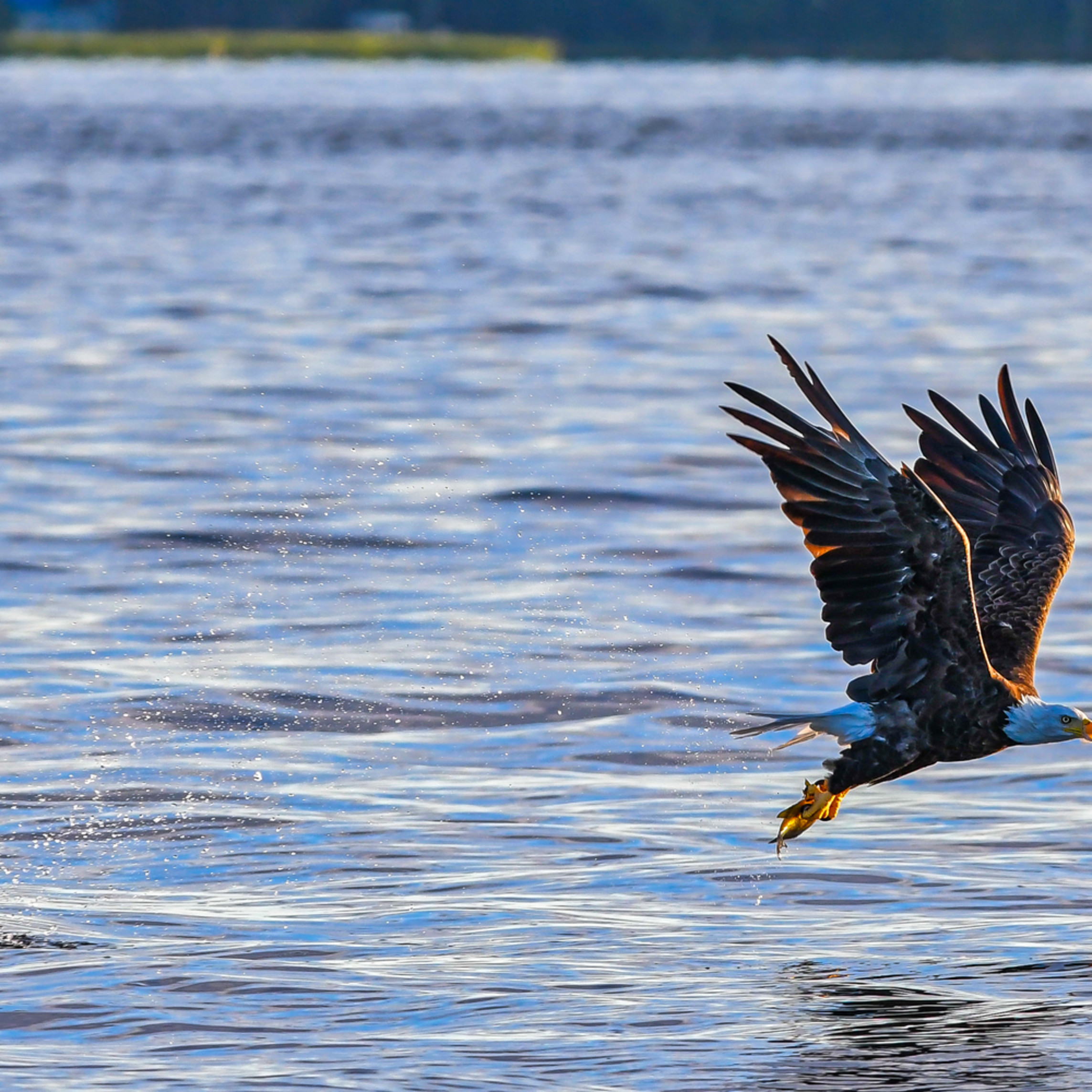 Andy crawford photography eagle catching fish 6 n6zrpp