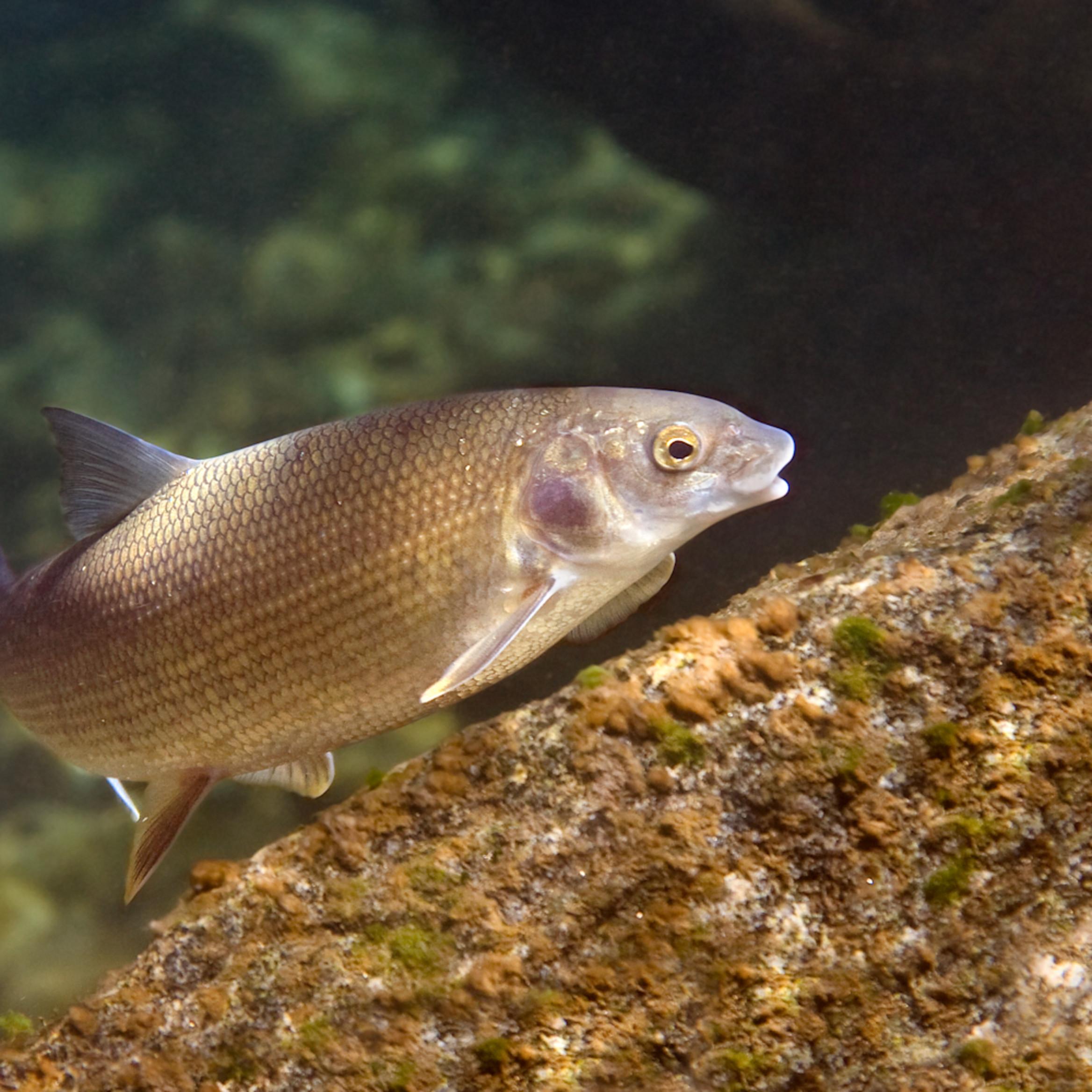 White fish 4797 y0inas