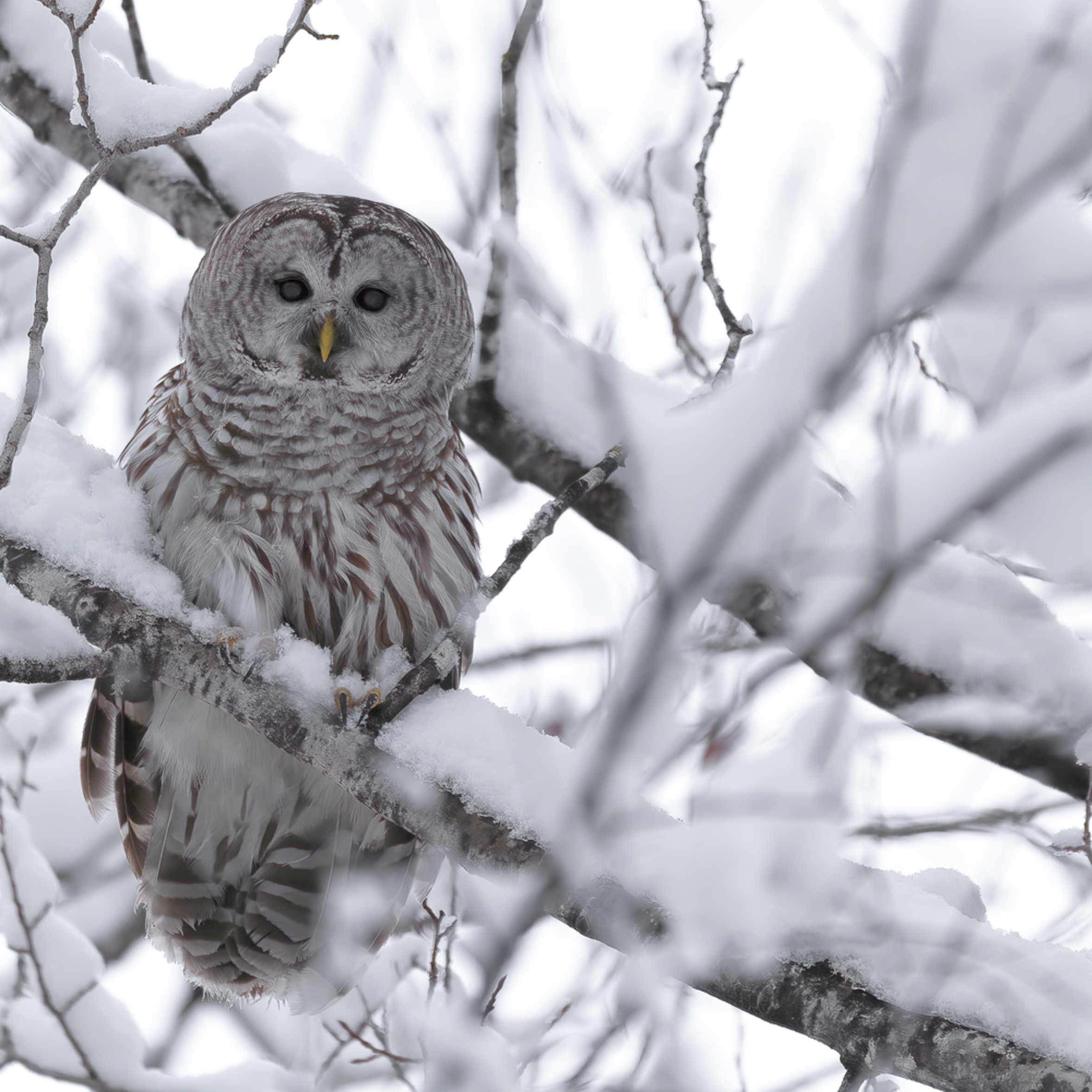 Barred owl in snow ha4zy8