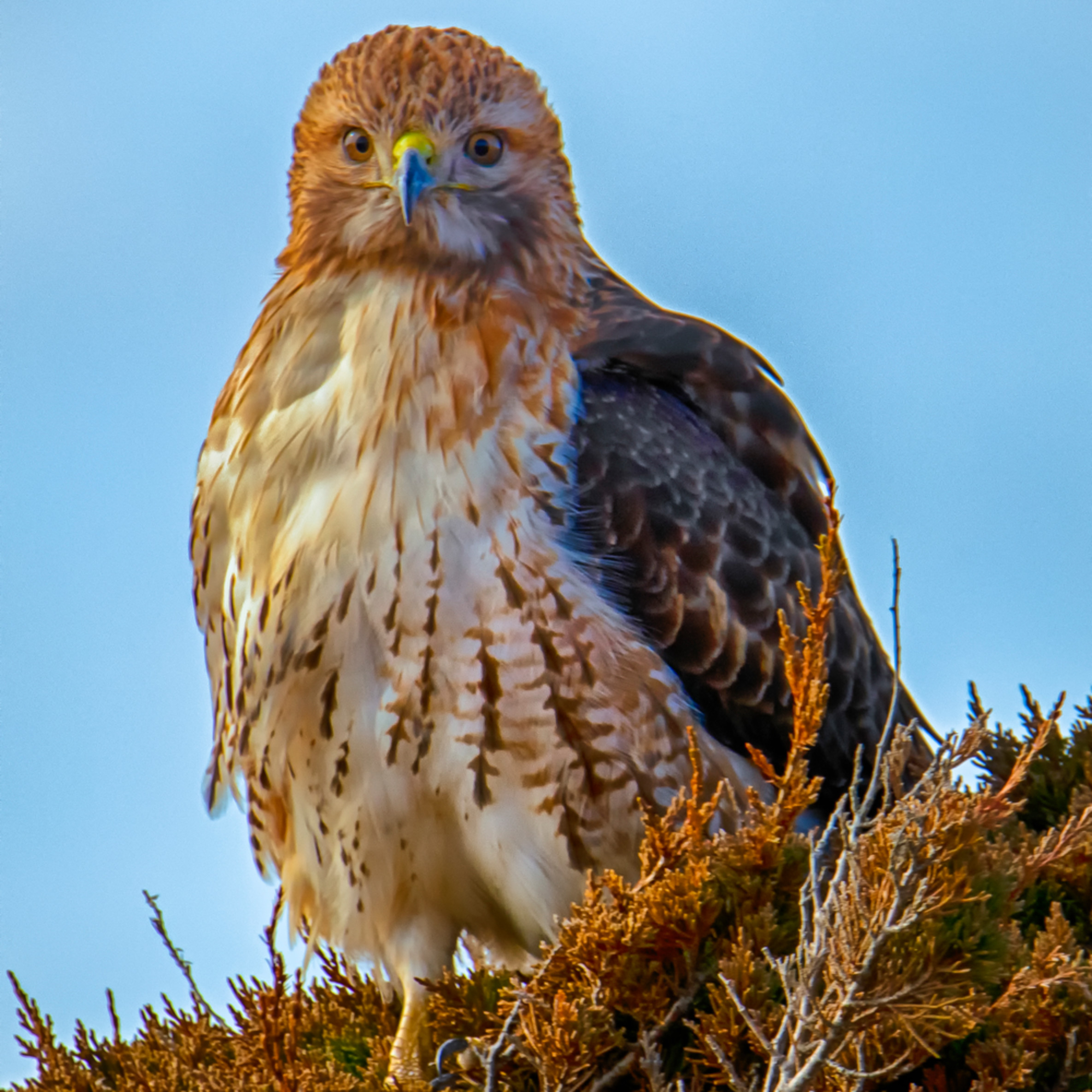 Red tail hawk winter dnyzes