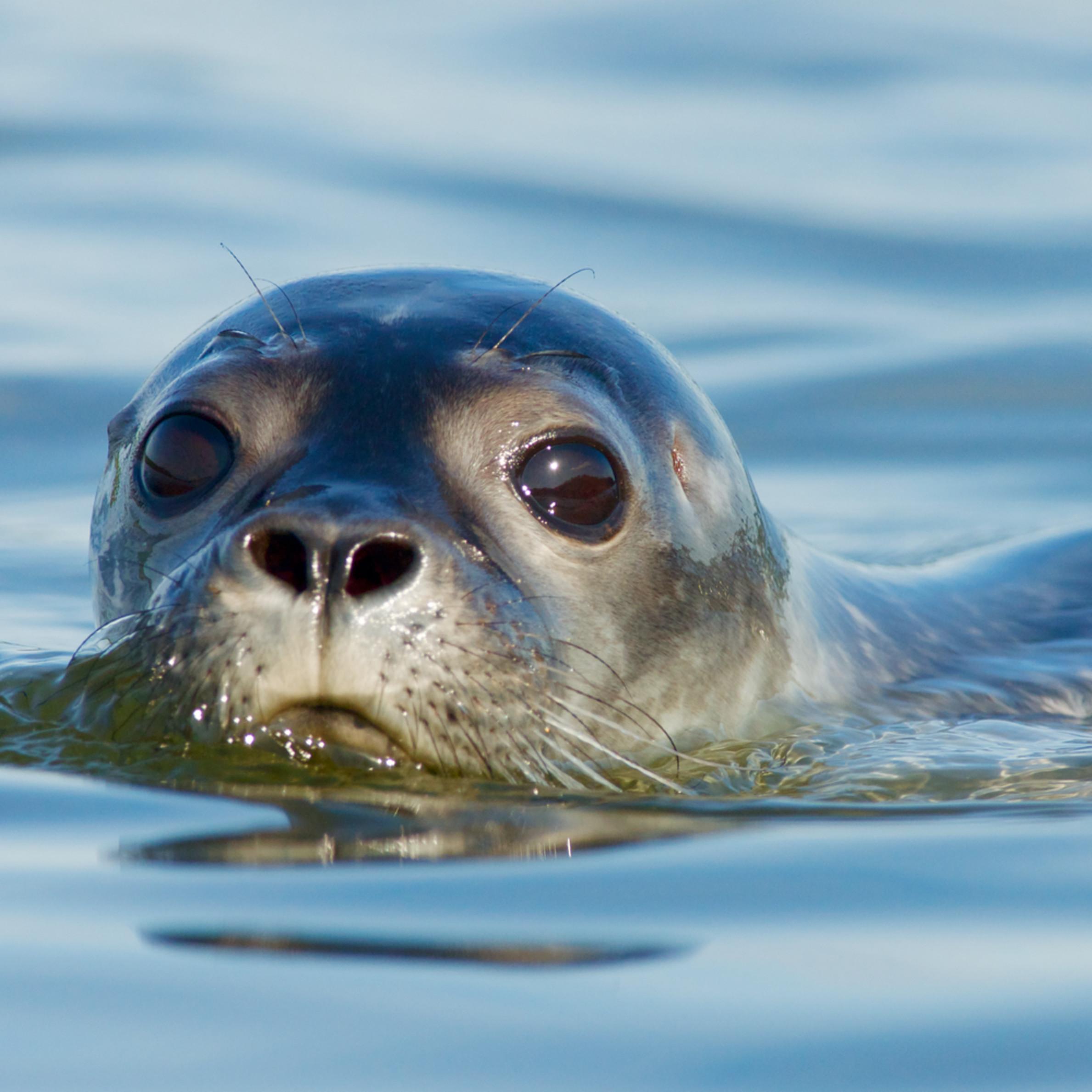 Maine harbor seal copy fjf7no