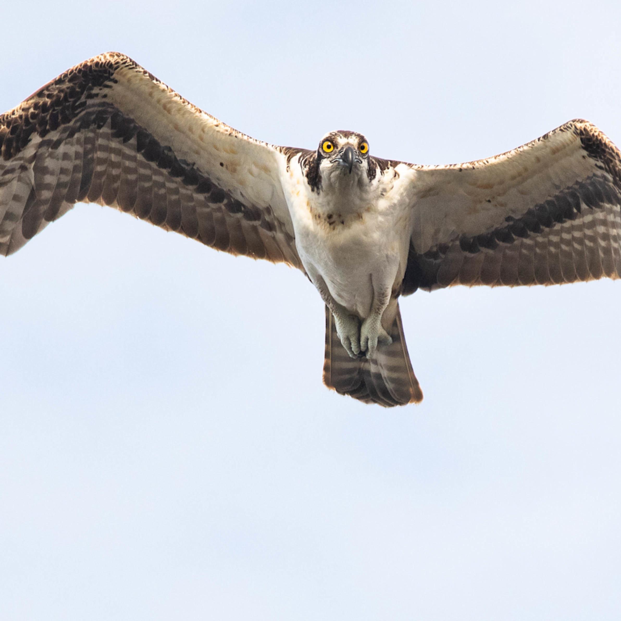 Merritt island osprey2 cuda lebd8j