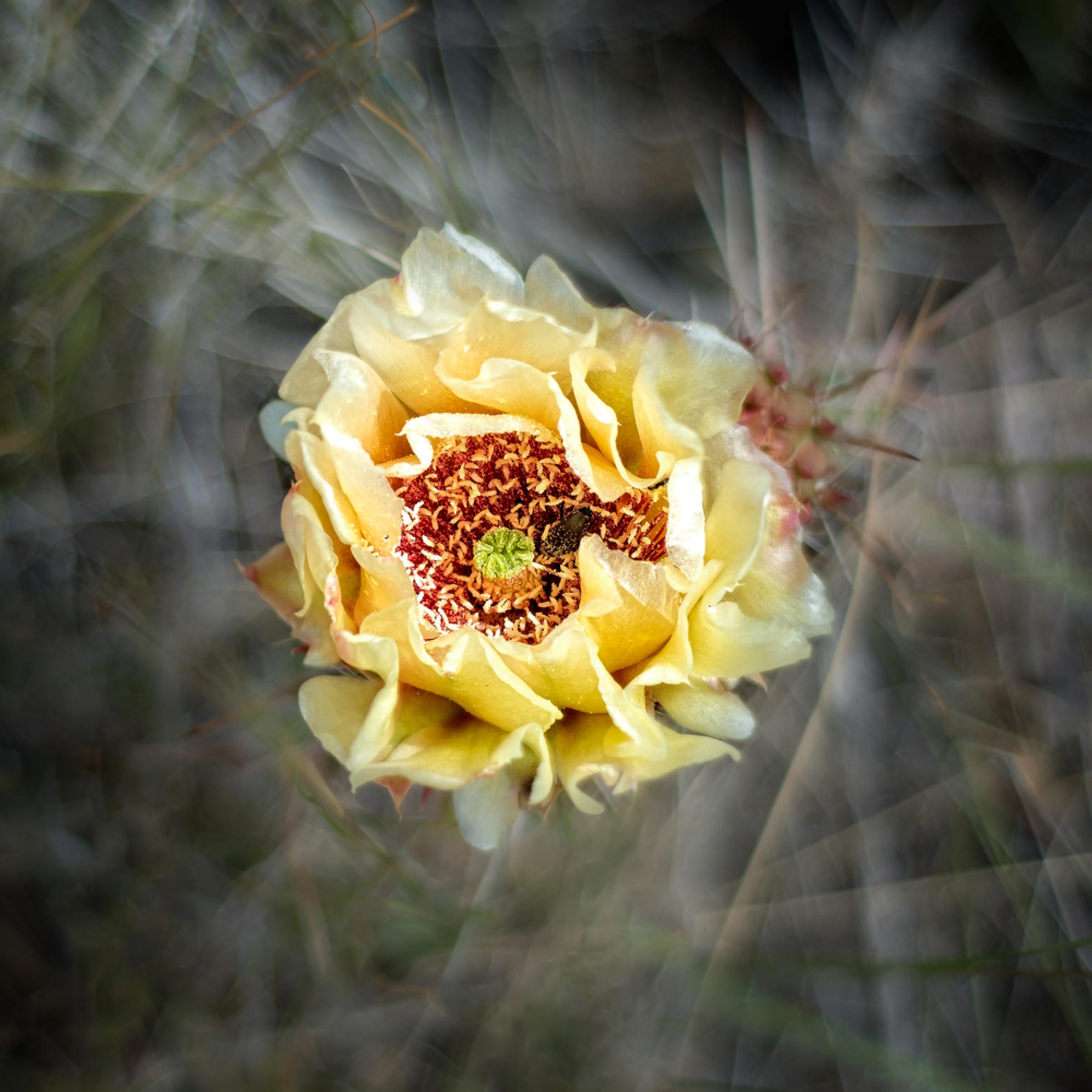 Cactus flower nprs6w