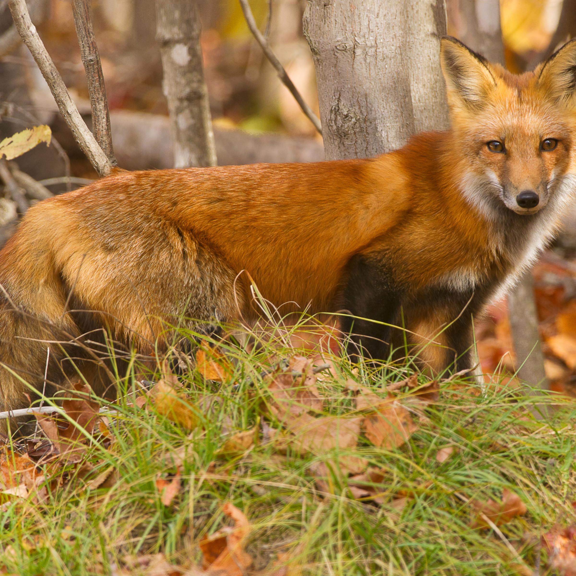 Red fox druqiv